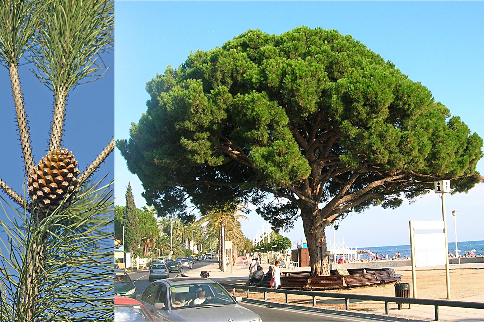 Fotografia zlewej przedstawia długie gałązki sosny pinii. Gałązki częściowo mają długie, wąskie igły wpęczkach odwie. Na rozwidleniu gałązek wyrasta jajowata, regularnie urzeźbiona szyszka. Fotografia po prawej przedstawia śródziemnomorski krajobraz . Po ulicy jadą samochody, obok rośnie duże drzewo pinii. Na ławce wokół niego siedzą ludzie. Wtle zabudowania, inne drzewa ipasek błękitnego morza.