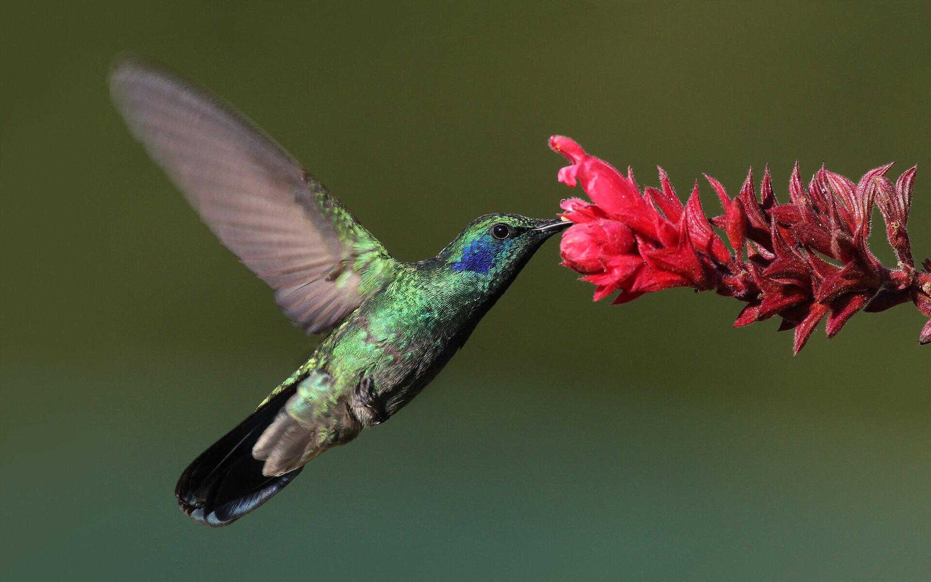 Fotografia przedstawia kolibra przy kwiecie. Ptak ma błękitne, lśniące pióra. Za okiem znajduje się fioletowa plama. Skrzydła są jasnofioletowe. Dziób ptaka jest długi izagłębiony wkwiecie.