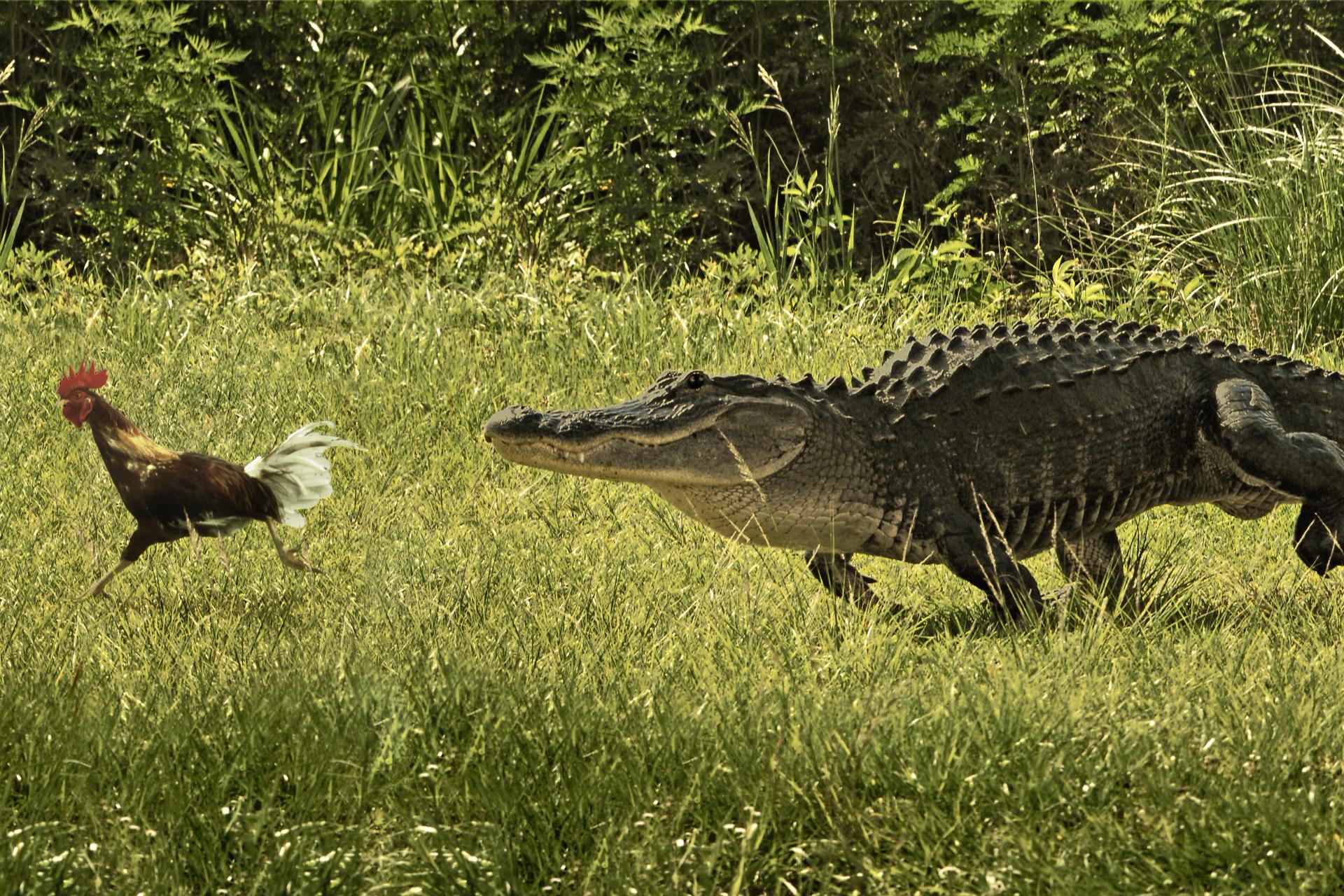 Fotografia przedstawia koguta, uciekającego przed krokodylem, wtle zarośla. Kogut zlewej, brązowy, na głowie czerwony grzebień ikorale, pióra wogonie białe. Jedna noga wyciągnięta wprzód, druga pod ogonem. Sylwetka pochylona ukosem, dynamiczna. Krokodyl masywny, ciemnoszary zbeżowym brzuchem, ma zamkniętą paszczę. Pysk wydłużony, małe oczy, skóra na grzbiecie zrzędami grubych, krótkich kolców. Wmomencie ujęcia opiera ciało na na trzech łapach, lewa tylna oderwana od ziemi, uniesiona wbok.