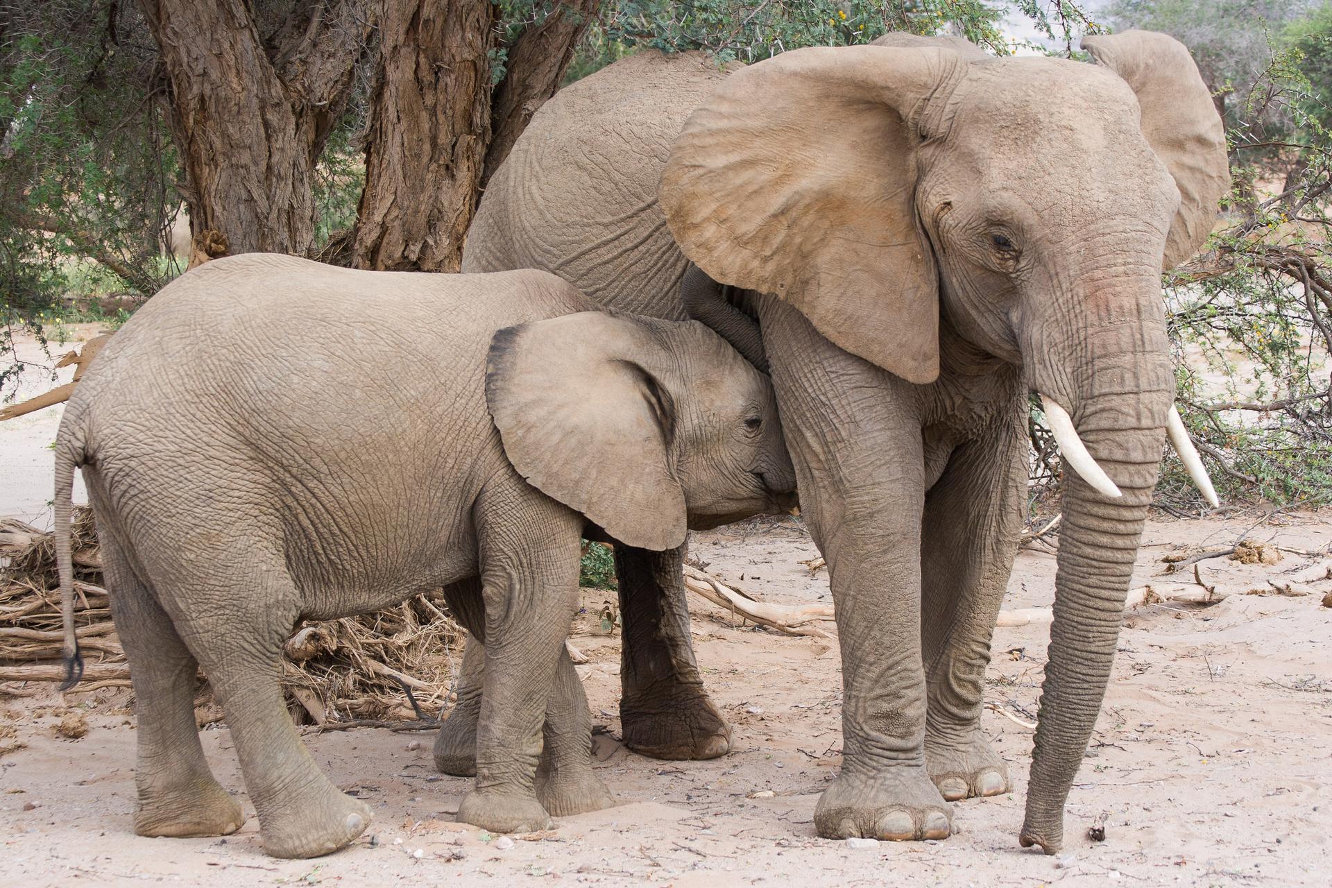 Fotografia przedstawia dwa słonie pod drzewem. Duży zwrócony głową wprawo, ma duże, odstające uszy. Trąba zwisa do ziemi, na jej początku białe wystające ciosy. Po lewej stoi bokiem mały słoń zgłową przytuloną do brzucha matki, podczas ssania.