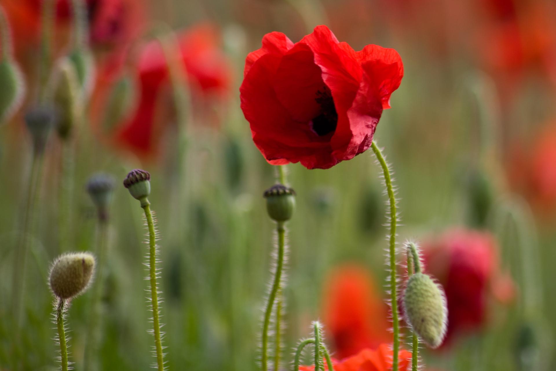 Fotografia przedstawia wzbliżeniu czerwony kwiat maku. Płatki są pomarszczone inie całkiem rozwinięte. Między nimi znajdują się czarne pręciki. Łodyżka kwiatu jest owłosiona. Obok znajdują się dwie wzniesione, zielone makówki idwa pochylone, owłosione pąki. Wtle rozmazany , zielono czerwony obraz innych maków.