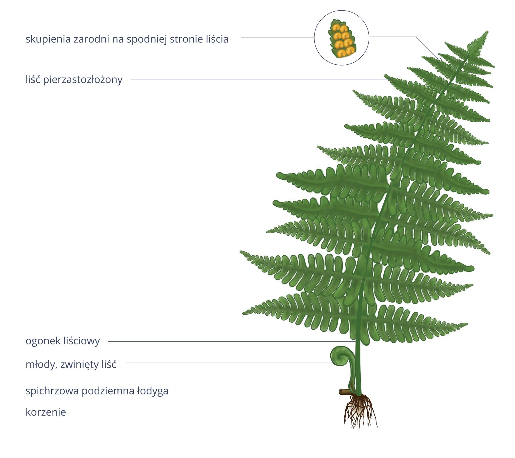 Ilustracja przedstawia duży, zielony, pierzasty liść paproci. Obok niego zbrązowego zgrubienia, czyli podziemnej spichrzowej łodygi wyrasta mały liść, zwinięty wkształt pastorału. Od łodygi wdół odchodzą liczne korzenie. Ugóry obok liścia powiększenie, wktórym ukazano fragment zielonego liścia zżółtymi skupieniami zarodni.