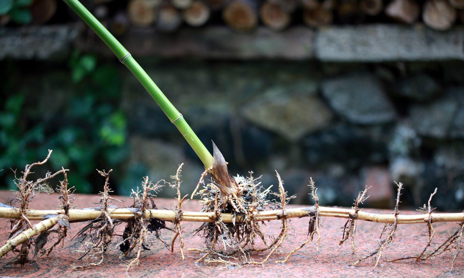 Fotografia przedstawia cienkie, długie, poziomo ułożone kłącze bambusa. Złodygi do góry wyrasta zielone źdźbło, ana boki także krótkie korzenie.