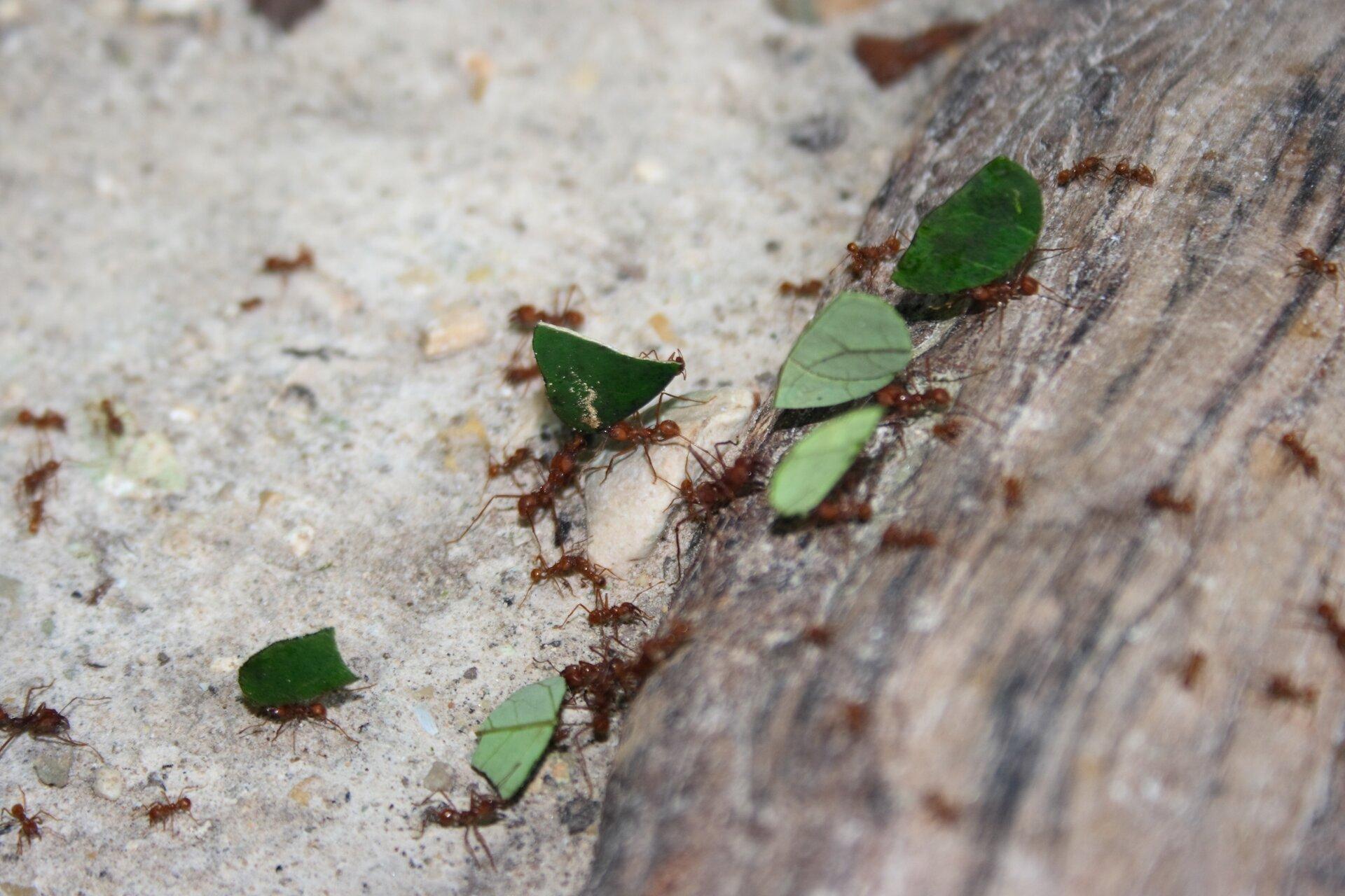 Fotografia przedstawia rude mrówki idące po piasku iwchodzące na kamień. Kilka mrówek niesie liście, pocięte na trójkątne kawałki. Liście posłużą jako podłoże dla grzyba.