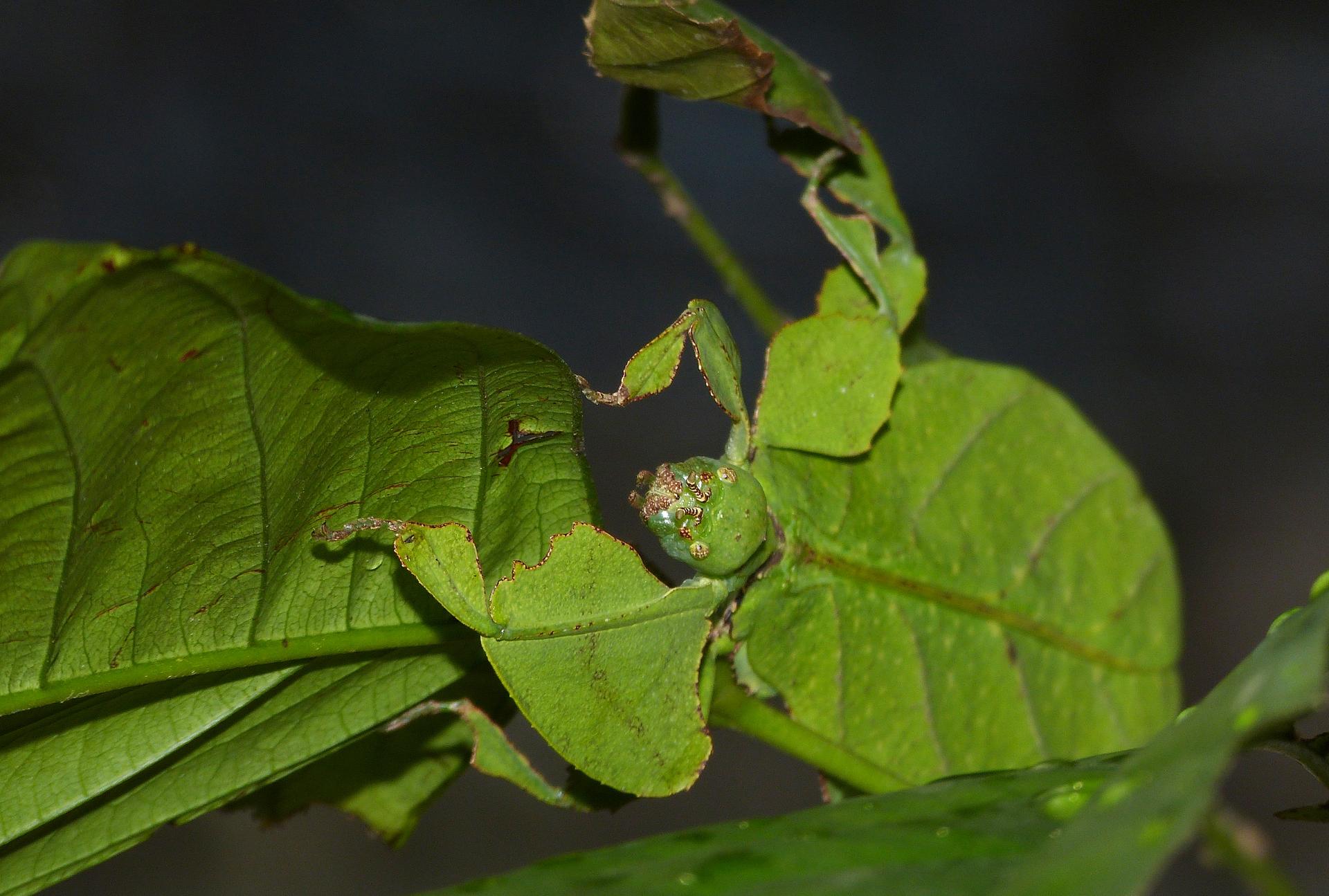Zielona gałązka zliśćmi. Ma niej słabo widoczny liściec. Jego kształt ikolor przypomina liść.