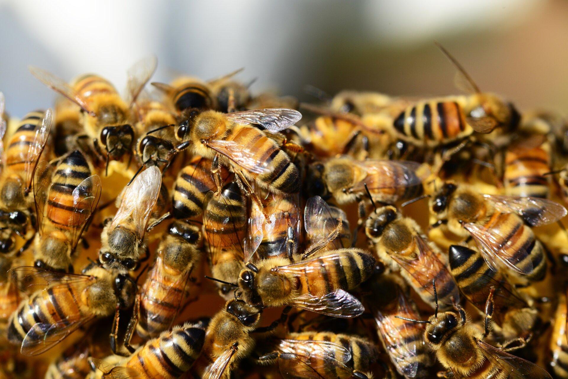 Pszczoły wytwarzają kwas mrówkowy