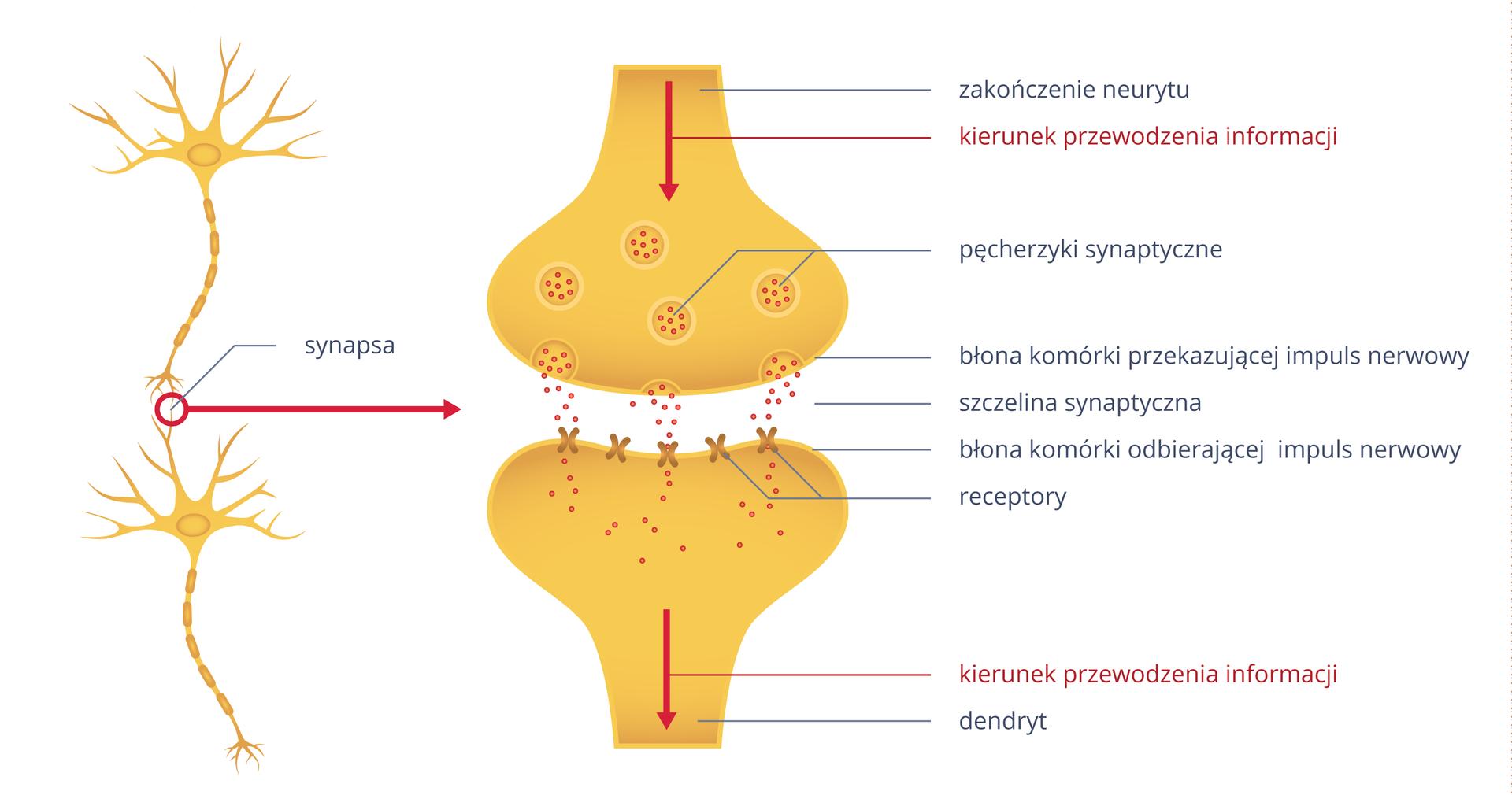 Ilustracja przedstawia zlewej dwa żółte neurony. Miejsce styku aksonu jednej zdendrytem drugiej to synapsa, ukazana wpowiększeniu po prawej. Cebulowate kształty to ugóry zakończenie neurytu, audołu dendryt. Czerwone strzałki wskazują kierunek przewodzenia informacji. Wewnątrz zakończenia neurytu znajdują się pęcherzyki synaptyczne zczerwonymi kropkami. Przy błonie pęcherzyki pękają, asubstancja pośrednicząca przechodzi do szczeliny synaptycznej. Na błonie komórki odbierającej impuls znajdują się receptory, tu jako krzyżyki. Na nie trafiają czerwone kropki substancji pośredniczącej ipobudzają dendryt.