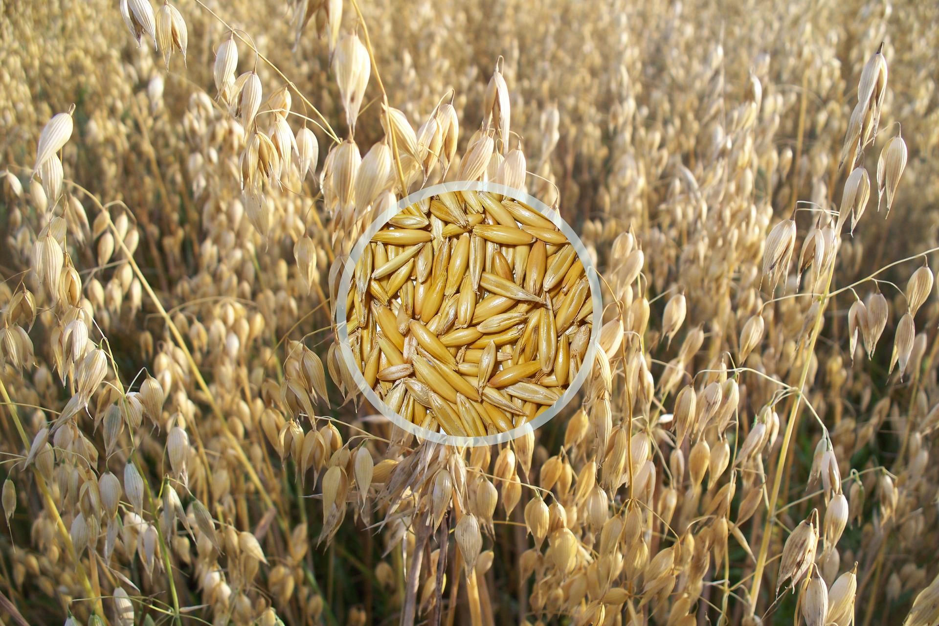 Fotografia przedstawia łan owsa. Ukazano wiechowate, zwisające kłosy zlicznymi nasionami bez ości. Wcentrum nałożone zbliżenie żółtych, długich ziaren.