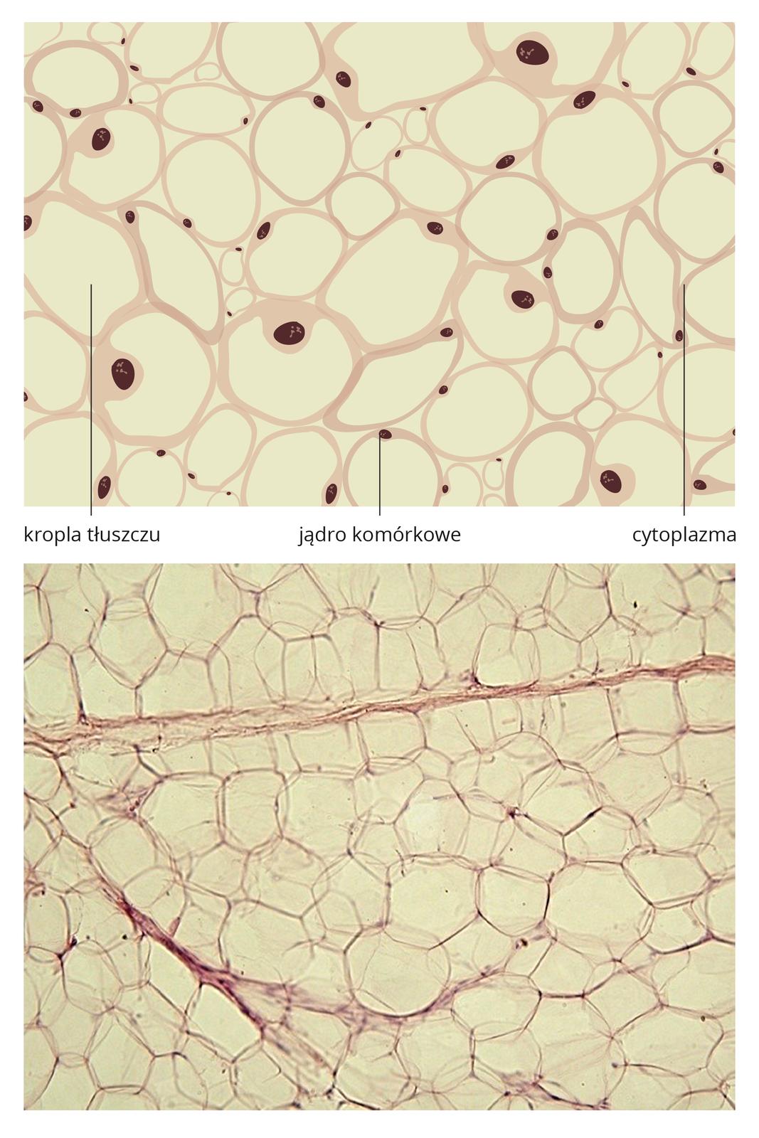 Ilustracja przedstawia dwa obrazy tkanki tłuszczowej jeden pod drugim. Na rysunku ugóry znajdują się okrągłe komórki, luźno ze sobą połączone. Wkażdej brązowym kolorem zaznaczono podpisane niżej jądro komórkowe. Obok wskazano kroplę tłuszczu we wnętrzu komórki. Podpisano liliową, wąską cytoplazmę. Poniżej znajduje się obraz mikroskopowy tkanki tłuszczowej. Liczne wielokątne komórki są przedzielone beżowymi pasmami.