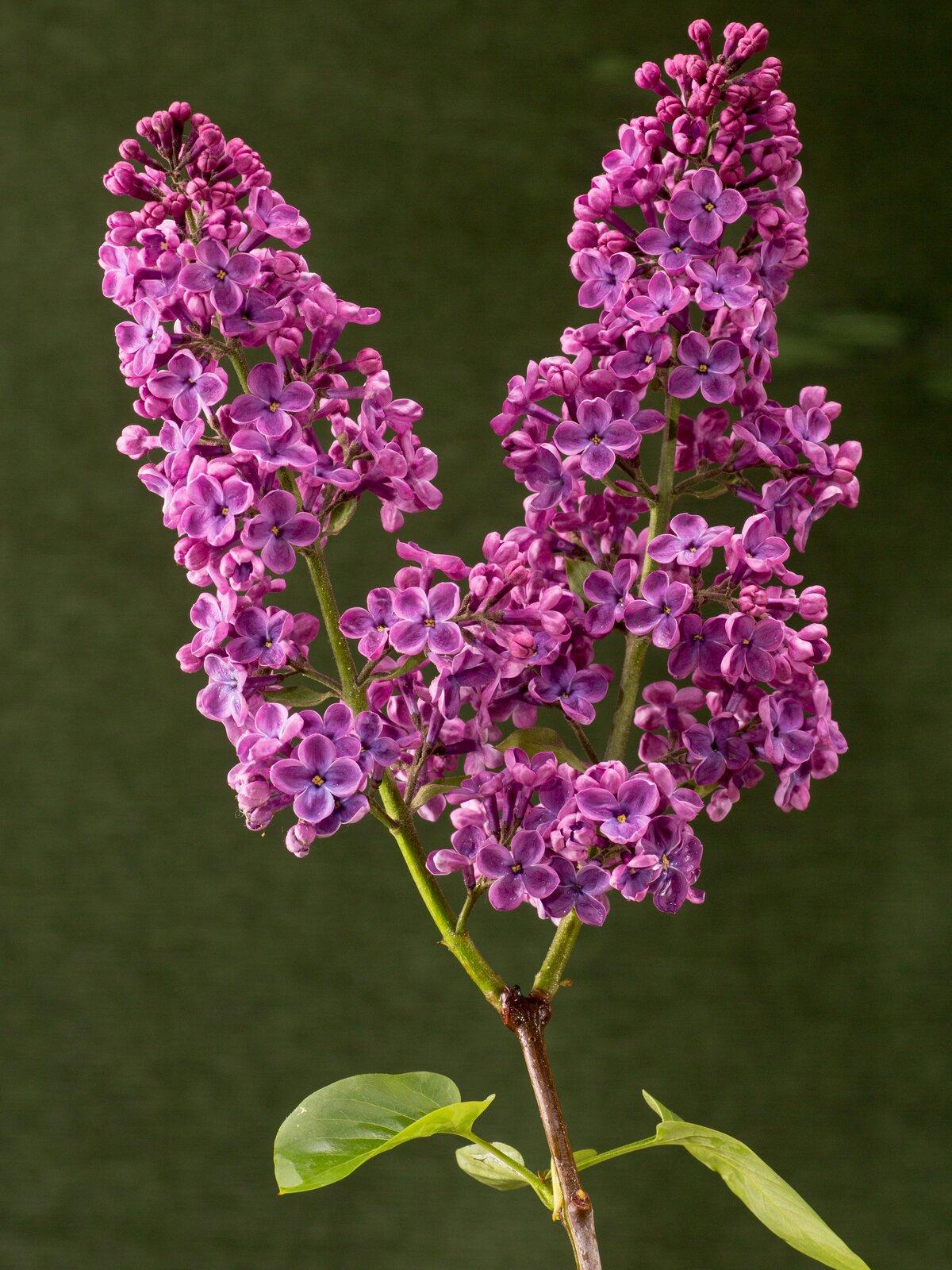 Fotografia przedstawia dwa fioletowe kwiatostany bzu lilaka.