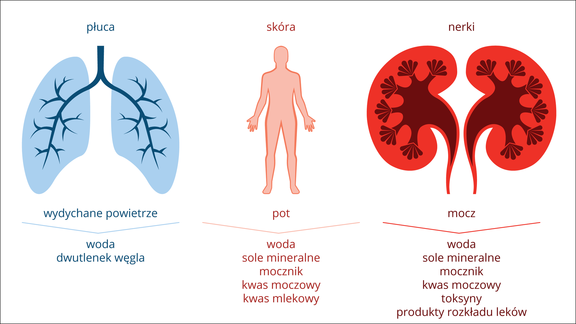Ilustracja przedstawia schematycznie trzy narządy, służce do usuwania produktów przemiany materii. Zlewej niebiesko - granatowe płuca. Podpis: wydychane powietrze iwskazanie na wydalane produkty: woda idwutlenek węgla. Środkowy rysunek przedstawia różową sylwetkę człowieka. Podpis: pot iwydalane produkty: woda, sole mineralne, mocznik, kwas moczowy, kwas mlekowy. Zprawej jaskrawo pomarańczowo – brązowe nerki. Podpis: mocz iwydalane produkty: sole mineralne, mocznik, kwas moczowy, toksyny, produkty rozkładu leków.