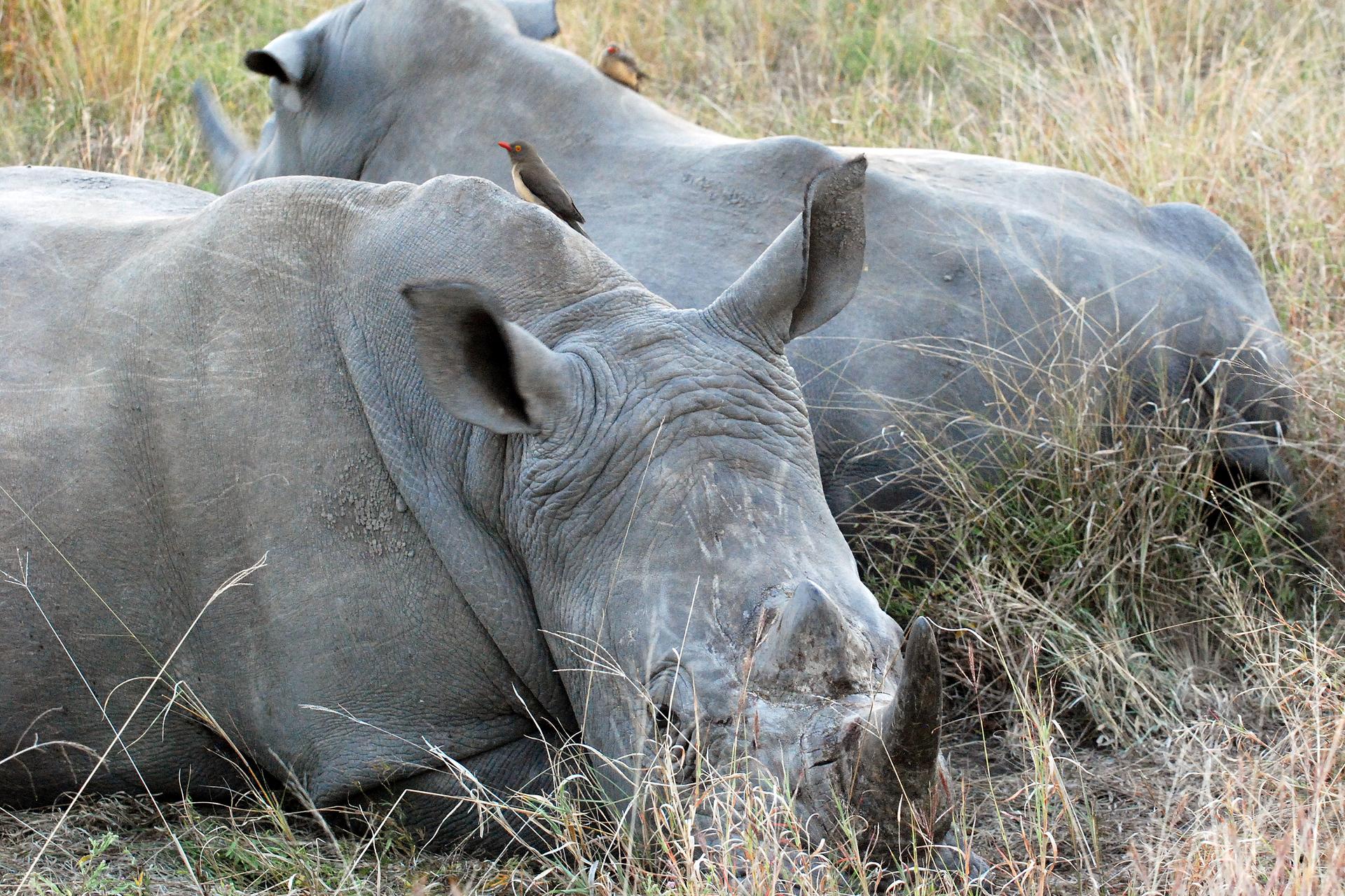 Fotografia przedstawia dwa leżące na suchej trawie nosorożce. Leżą obok siebie, zgłowami wprzeciwne strony. Na ich szarej skórze, na grzbietach znajdują się biało – czarne ptaki zczerwonymi oczami idziobami. To bąkojady, zjadające pasożyty ze skóry nosorożców.