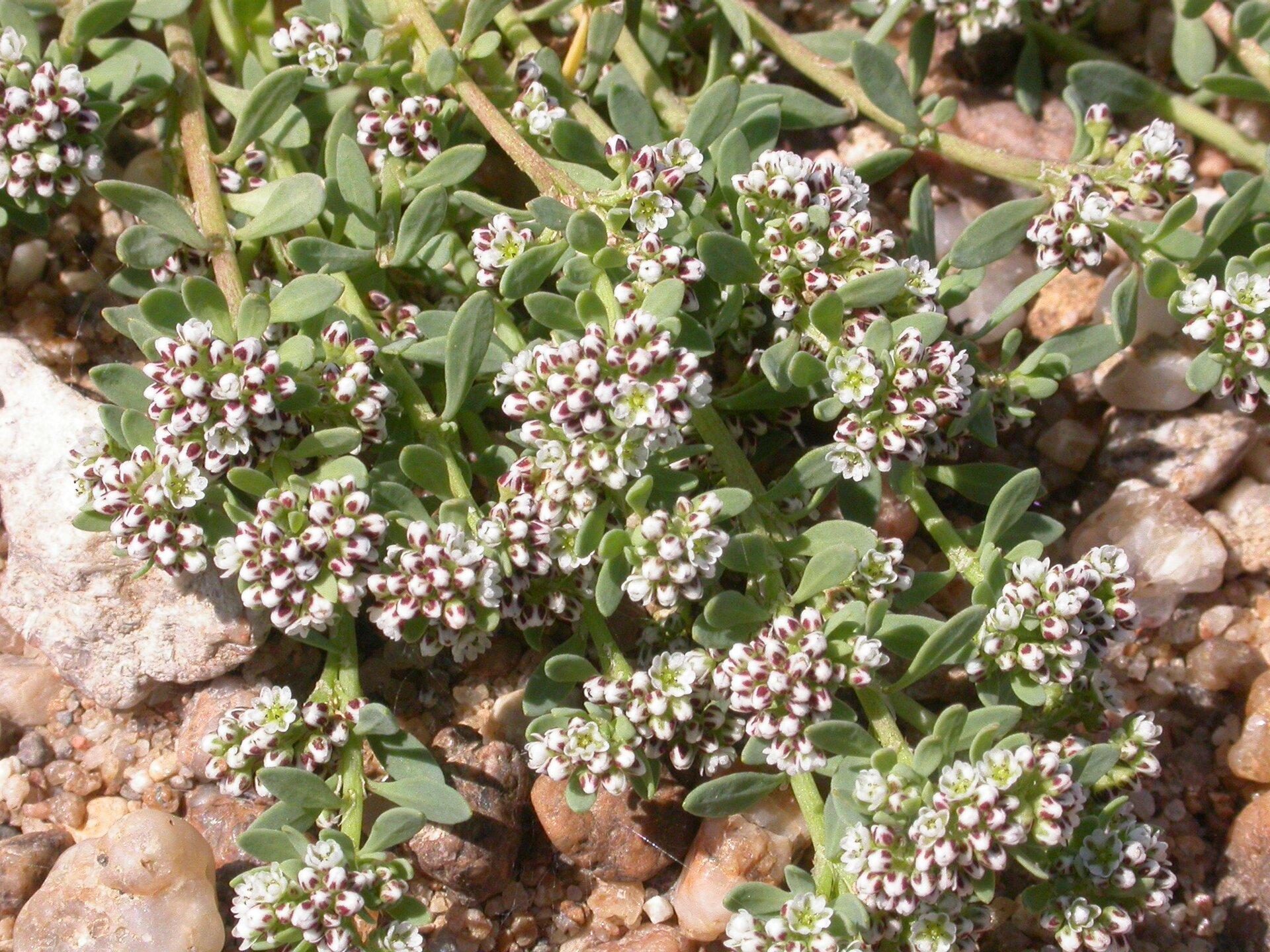 Fotografia przedstawia zbliżenie licznych roślin na kamieniach. To nadbrzeżnica nadrzeczna. Ich białe kwiaty wpąkach mają brązowe plamki. Nieliczne otwarte kwiaty są biało - zielonkawe. Kwiaty skupione wkuliste kwiatostany. Liście na walcowatej, płożącej łodydze są drobne, grube.