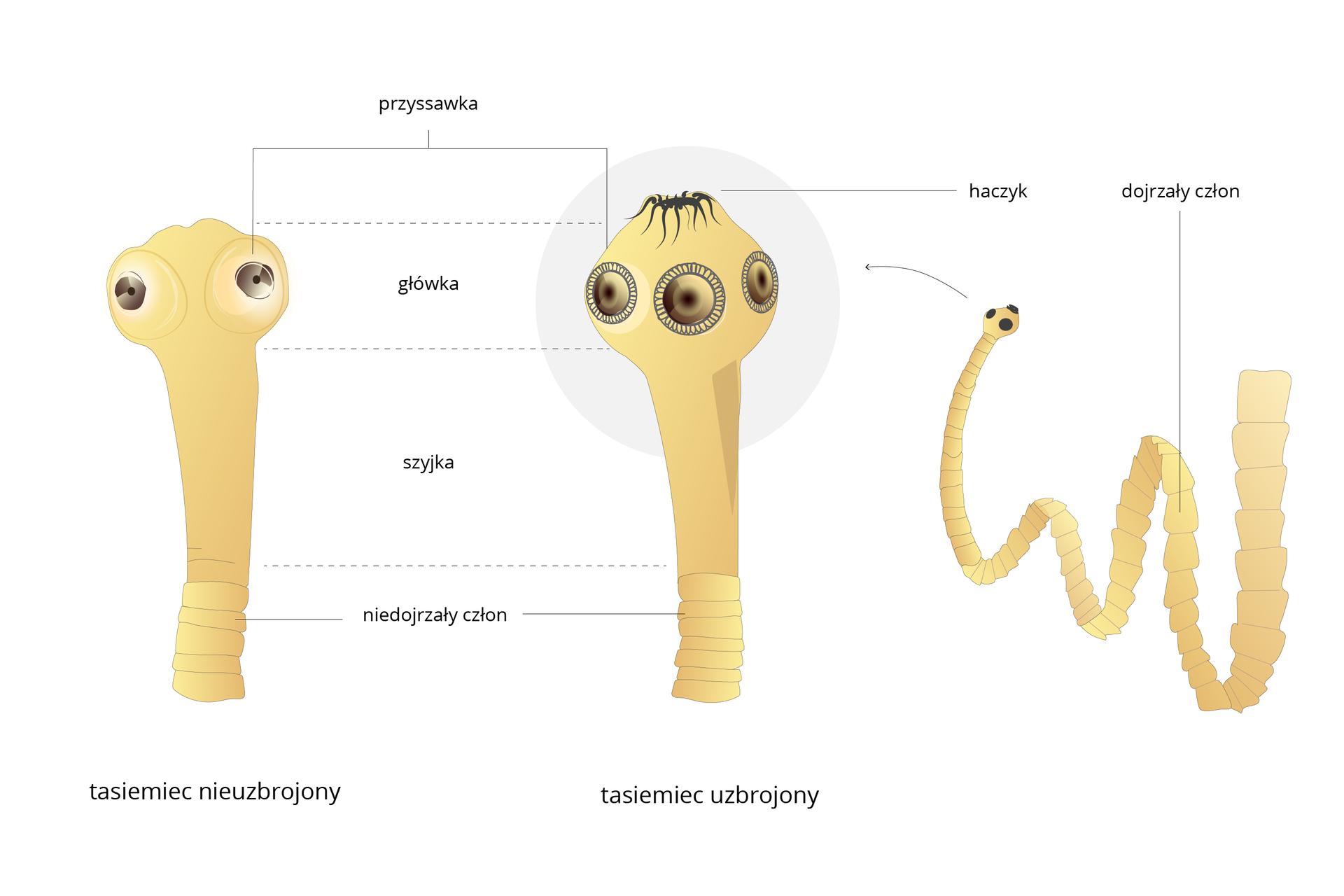 Ilustracja przedstawia trzy schematyczne rysunki tasiemców wkolorze beżowym. Zlewej przednia część ciała tasiemca nieuzbrojonego, wśrodku uzbrojonego, po prawej fragment ciała tasiemca uzbrojonego. Poszczególne części ciała tasiemców są podpisane ze wskazaniem podobieństw iróżnic.