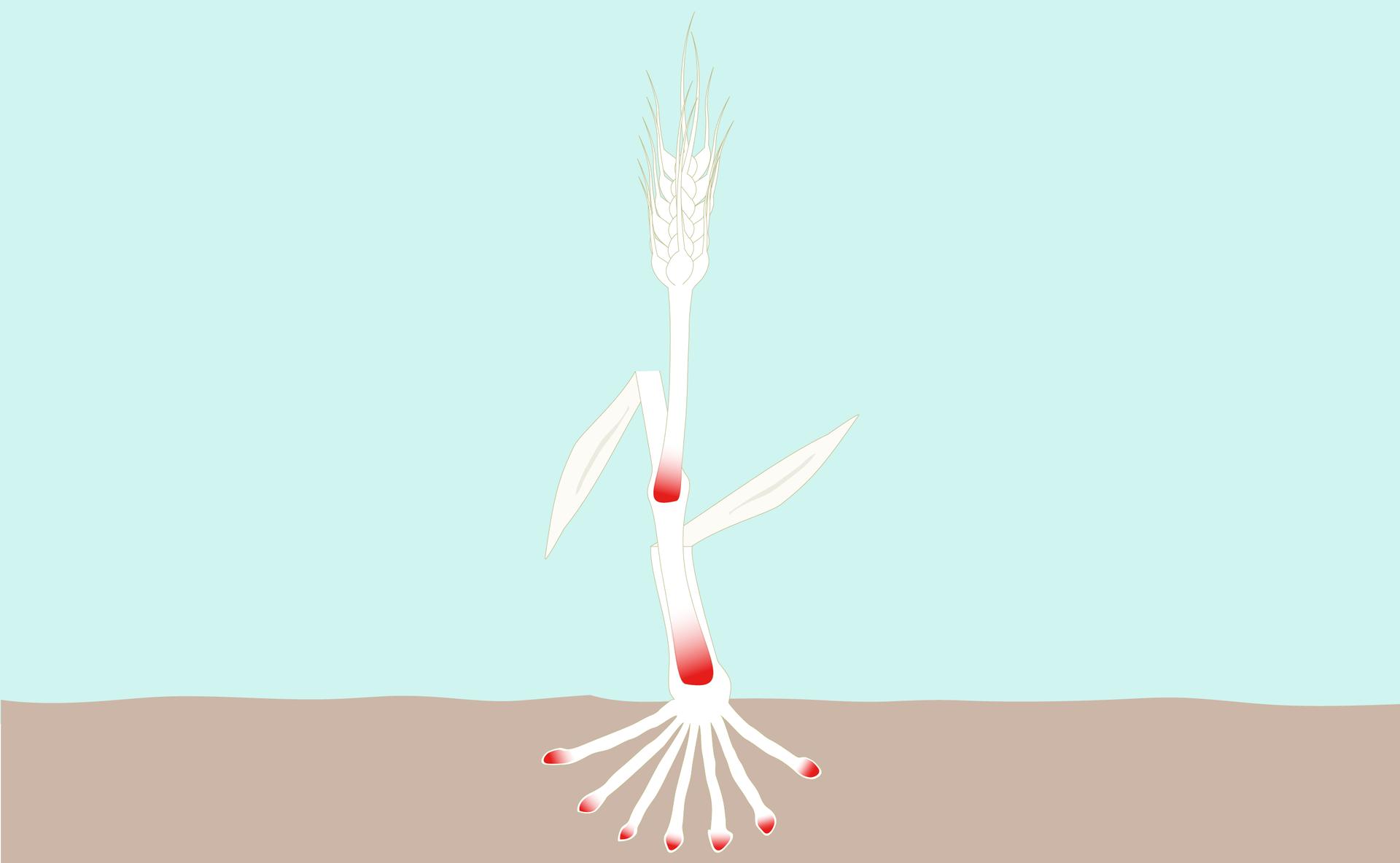 Ilustracja przedstawia położenie tkanek twórczych utraw. Czerwony kolor zaznaczono na szczytach korzeni iupodstawy członów łodygi.