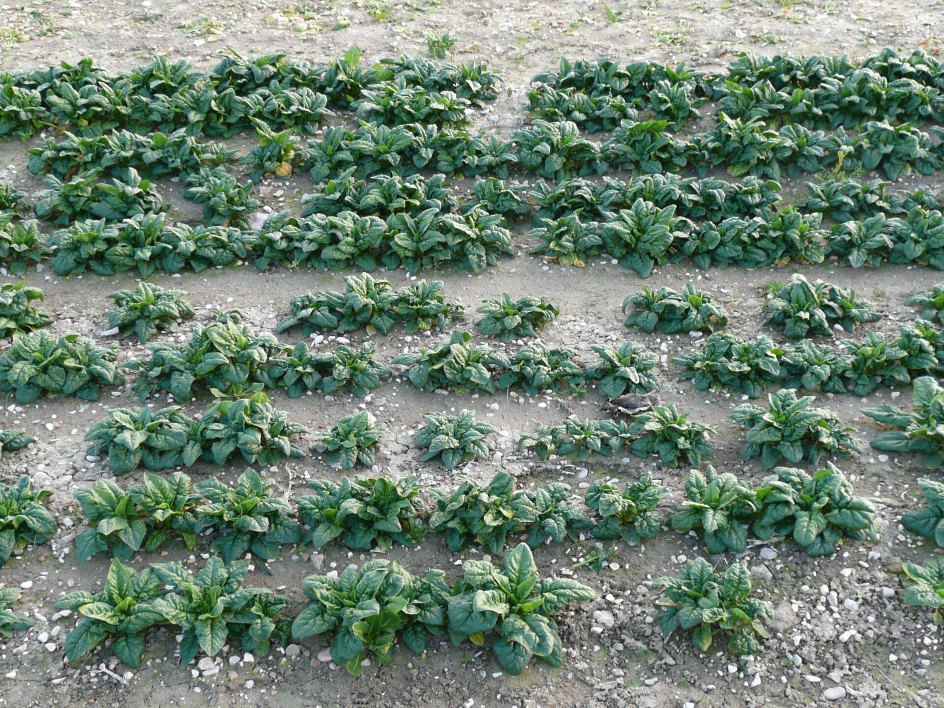 Na zdjęciu pole szpinaku, równe rzędy młodych roślin.