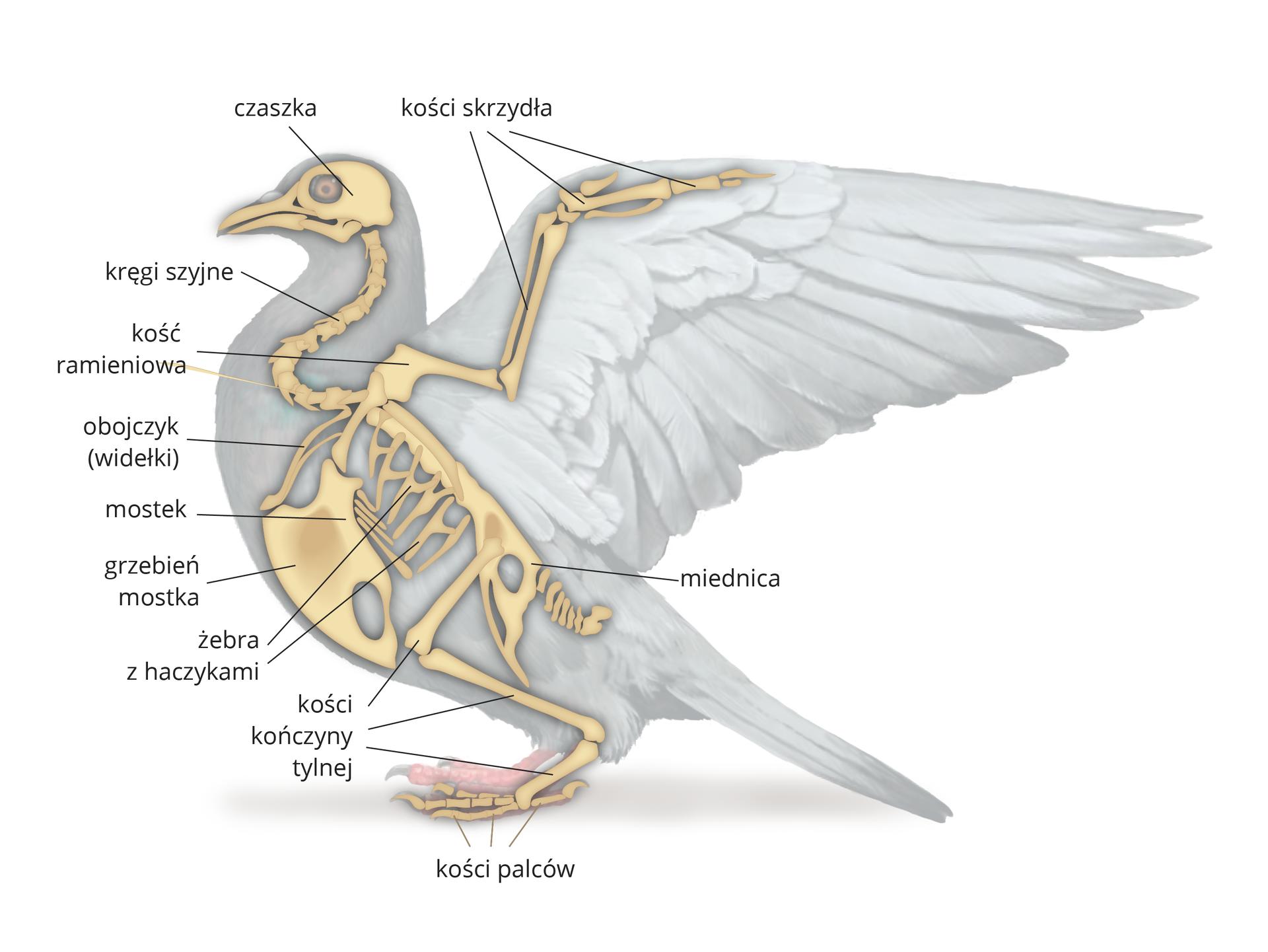 Ilustracja przedstawia zboku szarą sylwetkę gołębia zrozłożonym skrzydłem. Wrysowano bladożółty układ kostny. Od góry: czaszka, kręgi szyjne. Od kości ramieniowej wbok kości skrzydeł. Wtułowiu: obojczyk, szeroki mostek zgrzebieniem, żebra zhaczykami iczęściowo zrośnięty kręgosłup. Niżej miednica ikości kończyny tylnej zkośćmi palców.
