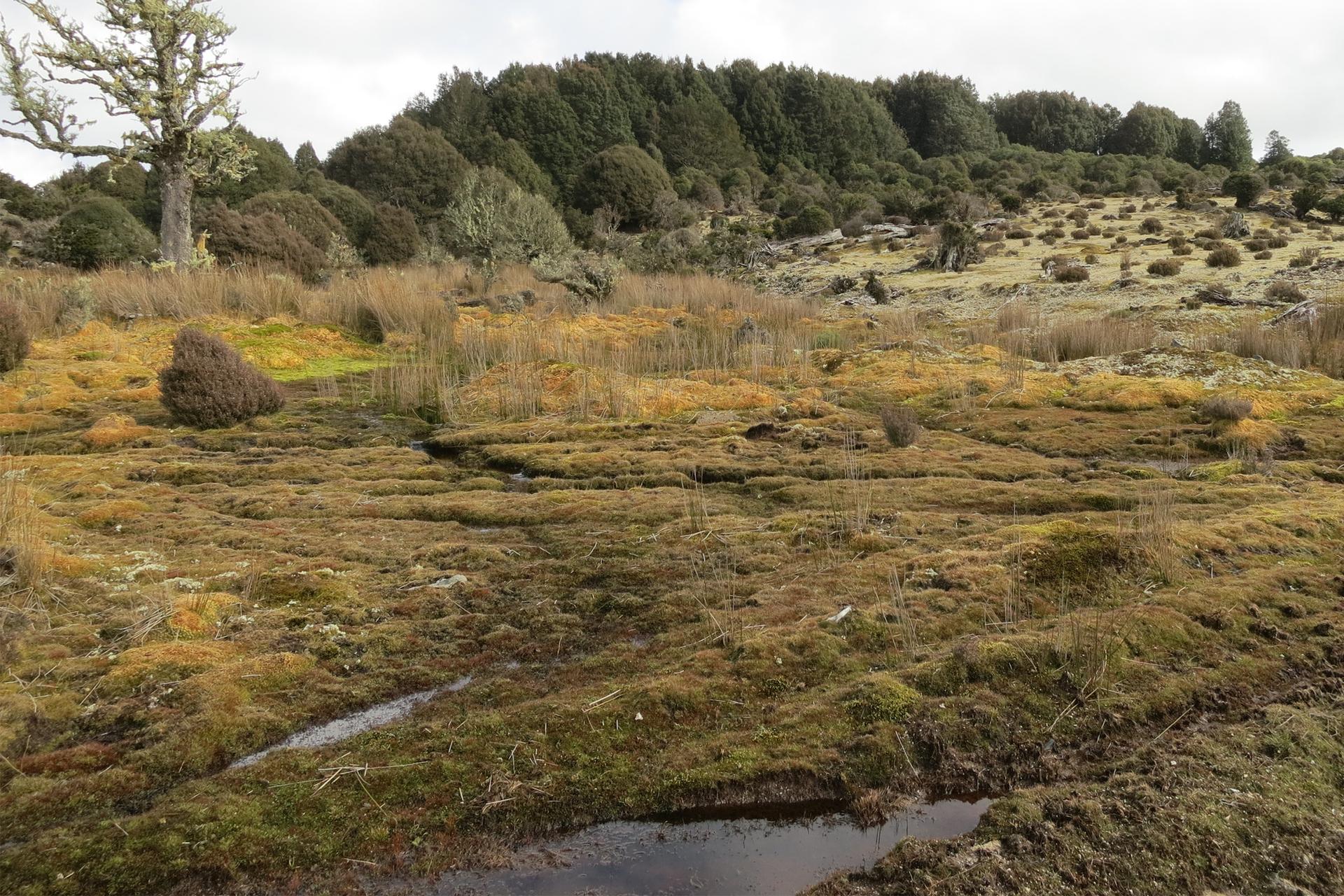 Fotografia przedstawia teren ozabarwieniu brunatnym, porośnięty gęsto mchem torfowcem. Jest podmokły, gdyż wzagłębieniach znajdują się kałuże wody. Wgłębi rosną drzewa, pojedynczo iwskupieniach. Taki krajobraz jest charakterystyczny dla torfowisk ibagien.