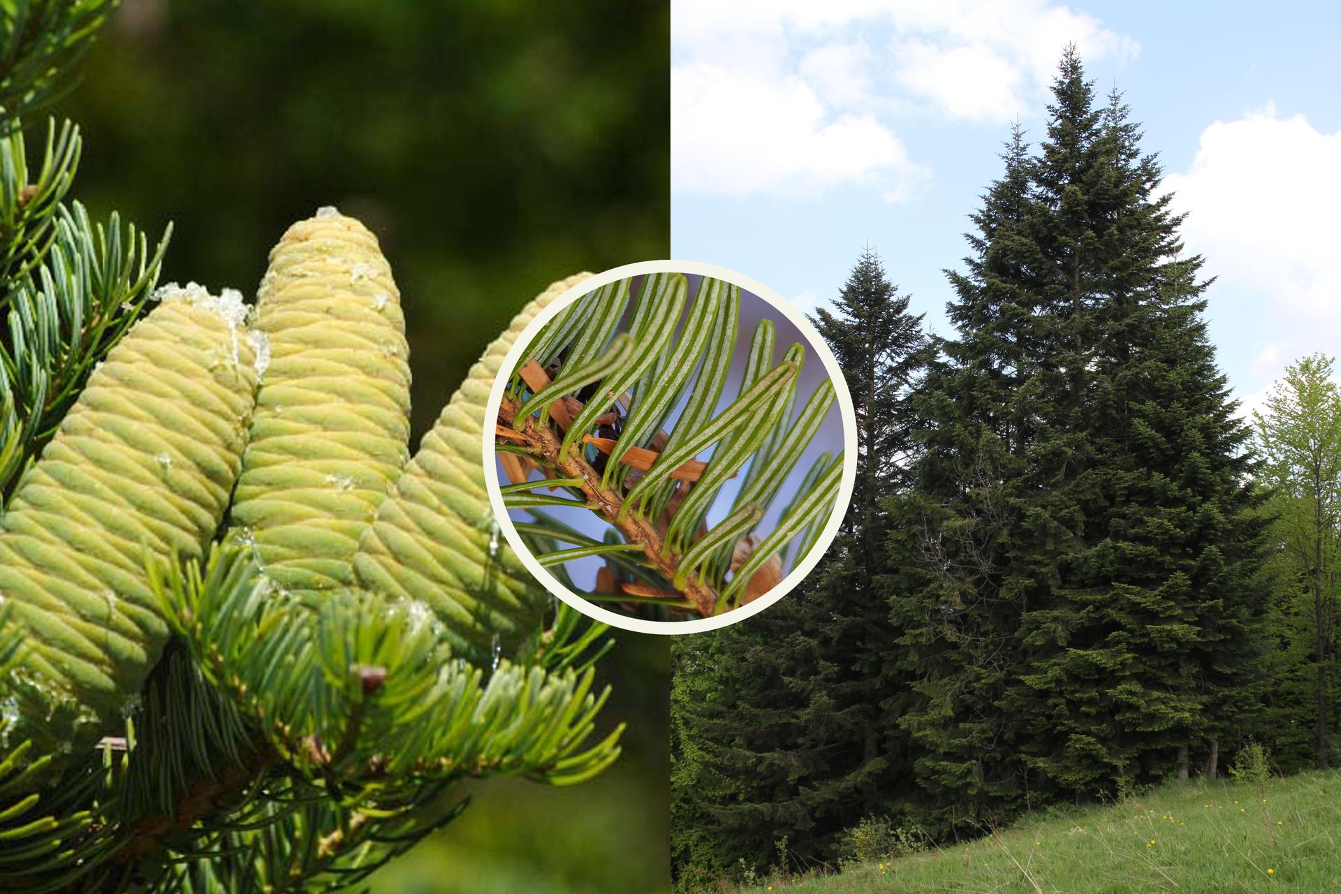 Fotografia zlewej przedstawia gałąź jodły pospolitej zpojedynczymi igłami itrzema grubymi, jasnozielonymi, stojącymi szyszkami. Po prawej fotografia przedstawia kilka jodeł na zboczu. Wtle inne drzewa. Kółko wcentrum przedstawia zbliżenie pędu świerka: brązowa gałązka izielone liście zdwoma białymi paskami wzdłuż.
