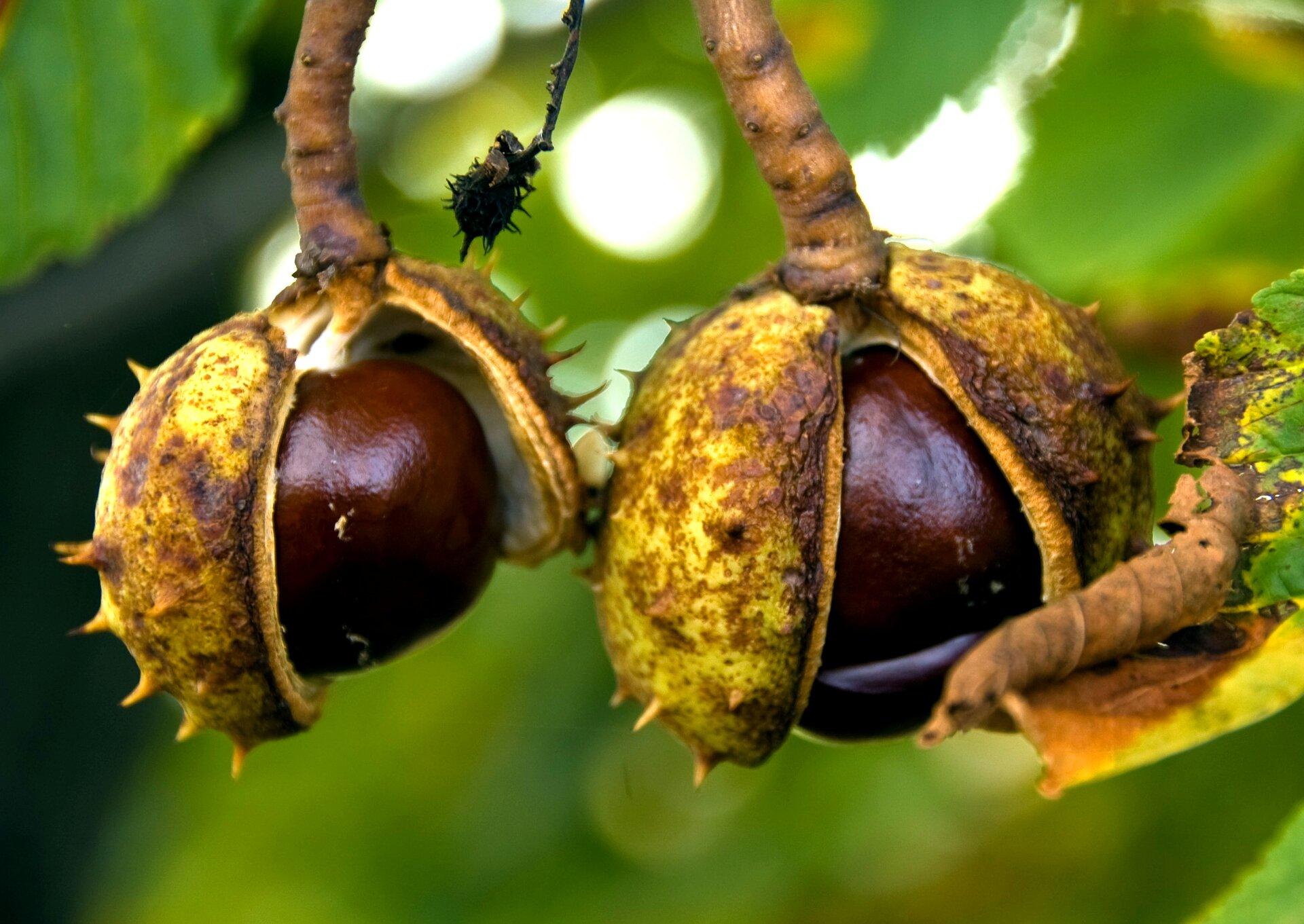 Zdjęcie przedstawia drzewo kasztanowca jesienią. Liście są żółte, brązowe izielone. Wcentralnej części zdjęcia znajdują się cztery owoce kasztanowca. Wiszące na gałęzi cztery owoce to kasztany. Kasztany to kulki ośrednicy około trzech centymetrów. Na zewnątrz pokryte są grubą łupiną. Na łupinie są liczne kolce. Kolce mają długość około pięć milimetrów. Łupina jest żółtozielona ipęknięta wzdłuż. Wmiejscu pęknięcia widoczny jest brązowy kulisty owoc zajmujący całe wnętrze wewnątrz łupiny.