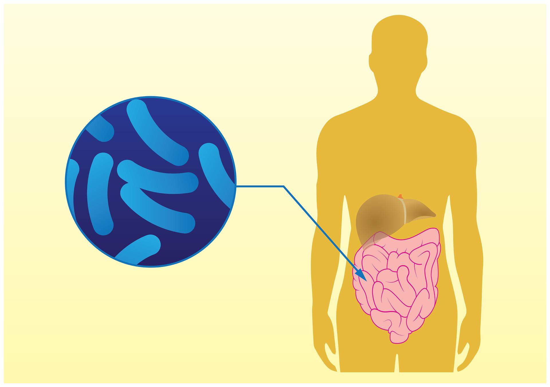 Ilustracja przedstawia żółtą sylwetkę człowieka zwrysowanymi jelitami. Obok znajduje się szafirowe kółko zjaśniejszymi, pałeczkowatymi kształtami oznaczającymi bakterie. Strzałka prowadzi od bakterii do jelit. Oznacza to, że niektóre bakterie żyją wprzewodzie pokarmowym człowieka ipomagają wtrawieniu oraz wytwarzają witaminy BiK.
