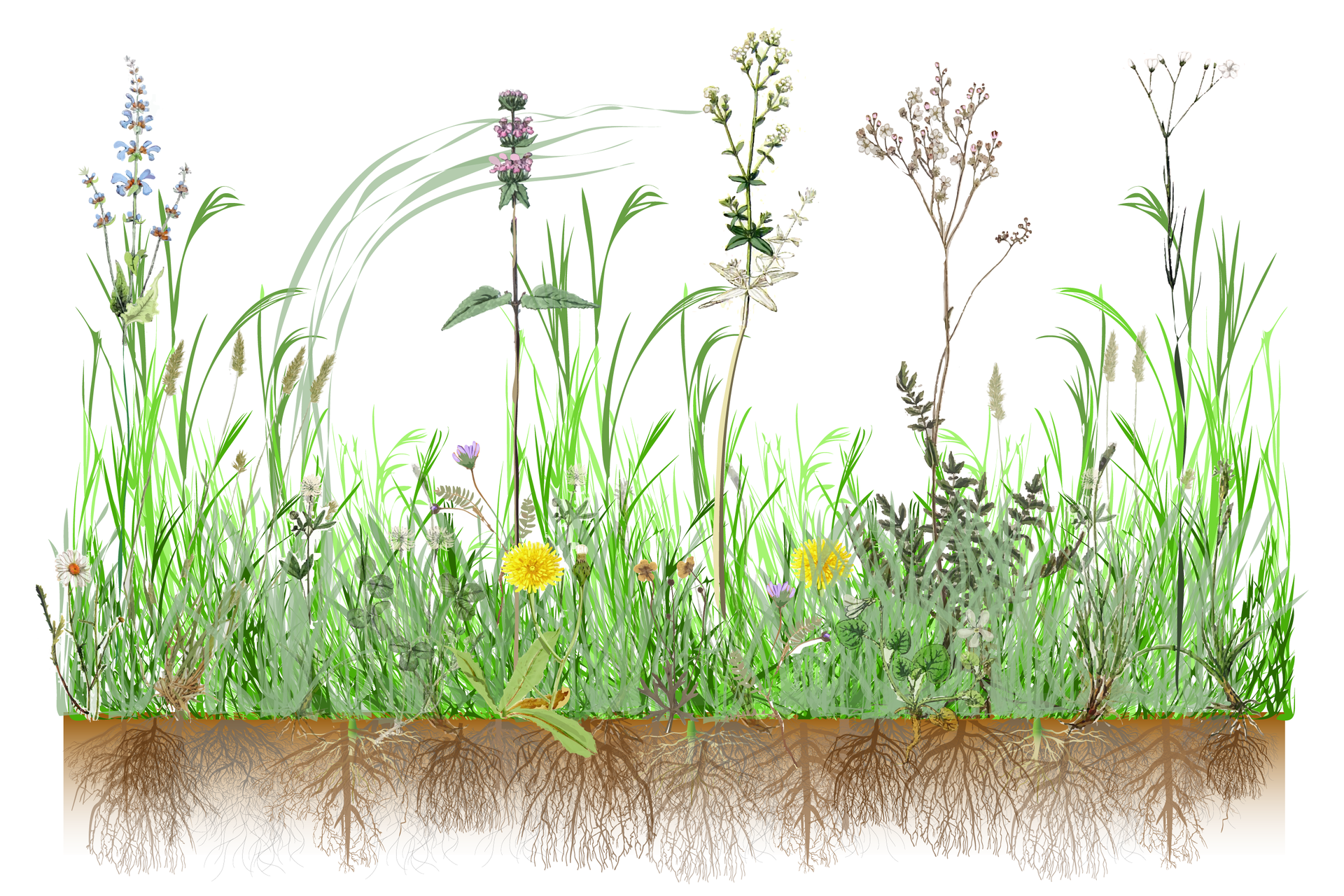 Ilustracja przedstawia gęsto rosnące rośliny oróżnej wysokości ikształcie. Mają kwiaty żółte iróżowe. Między nimi rośnie trawa. Wglebie ukazano ich splątane korzenie. Rośliny tworzą zbitą darń.
