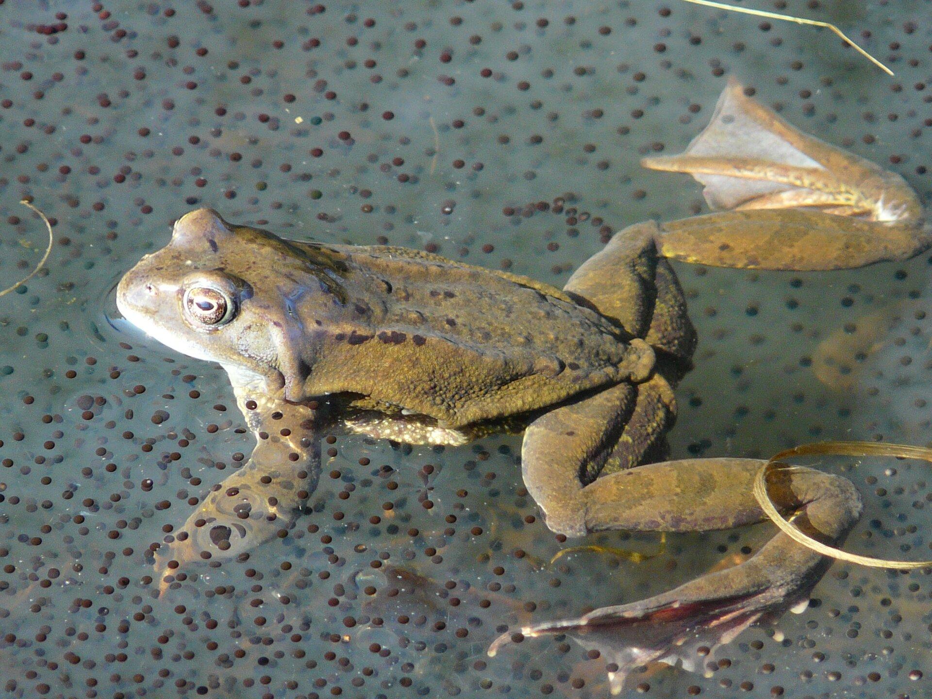 Fotografia żaby wśród skrzeku. Żaba pływa wwodzie. Przednie kończyny są krótkie, atylne dlugie irozpostarte na boki. Między palcami tylnych kończyn rozpięta błona. Ciało żaby jest zielone, dolna część głowy igardło są białe. Dookola żaby wwodzie znajduej się skrzek. Są to półprzezroczyste kule zdużą czarną kropką wśrodku. Kropka to zarodek, zktórego rozwinie się kijanka.
