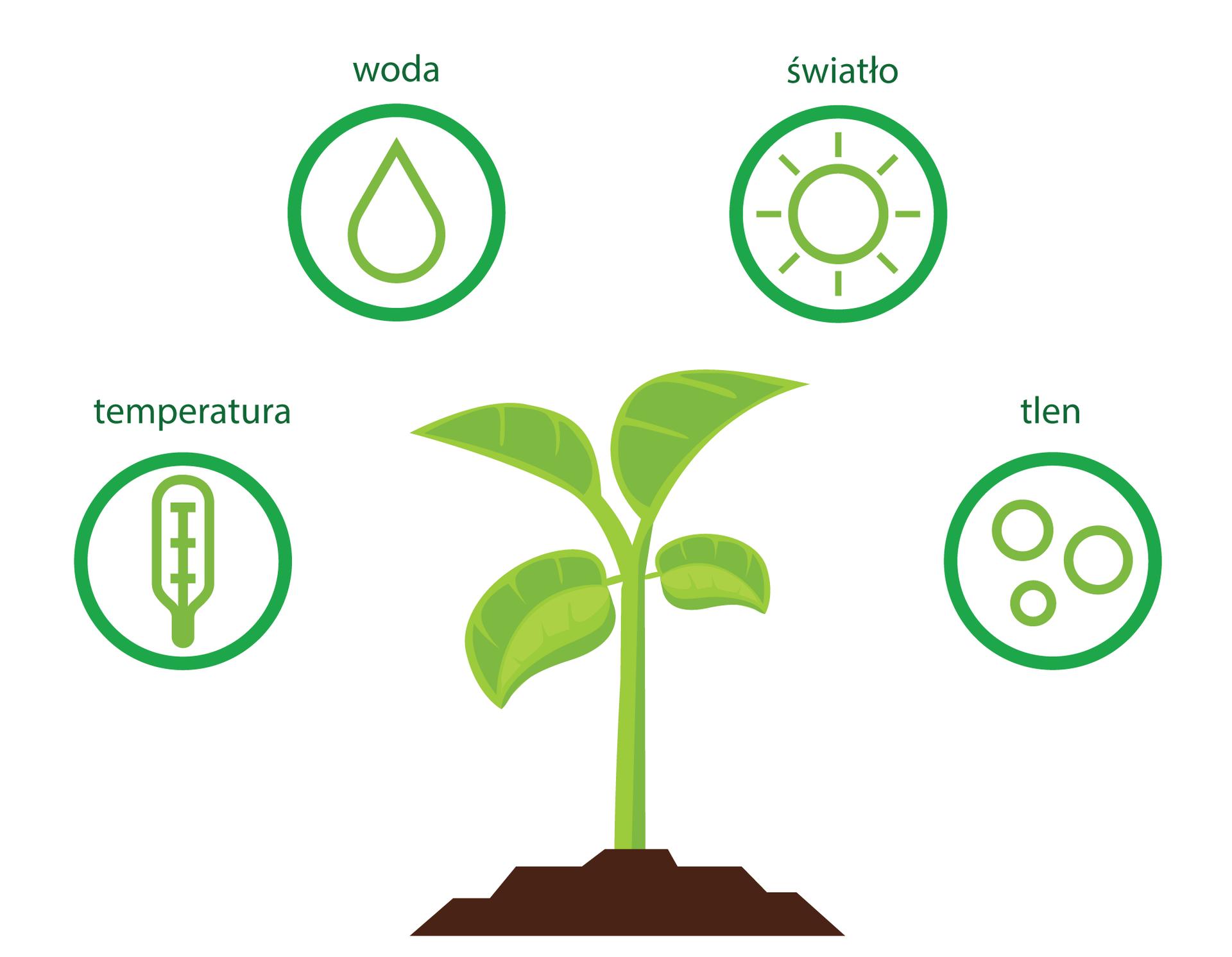 Ilustracja przedstawia centralnie umieszczoną, młodą, jasnozieloną roślinę na brązowej glebie. Wokół niej wczterech zielonych kółkach znajdują się piktogramy, oznaczające czynniki, które mają wpływ na kiełkowanie nasion.