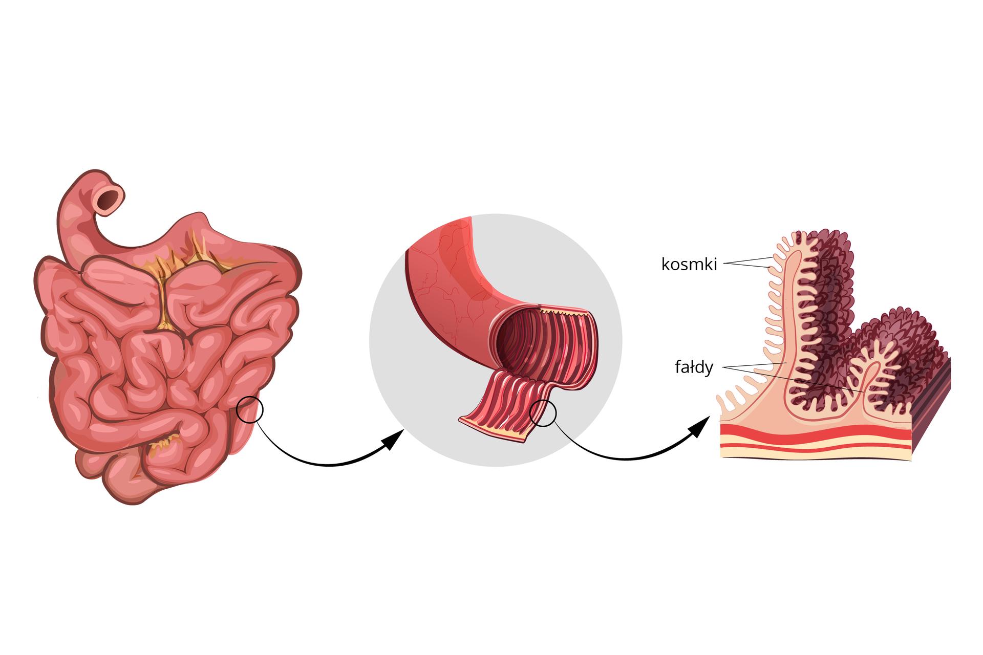 Ilustracja przedstawia zlewej różowe, rurkowate jelito cienkie. Strzałka prowadzi do powiększenia fragmentu jelita, wktórym ukazano fałdy. Rysunek zprawej to powiększenie mikroskopowe błony jelita cienkiego. Na różowych fałdach znajdują się gęsto ułożone wypustki – kosmki (ciemnofioletowe). Uich podstawy wrysowano czerwone naczynia krwionośne.