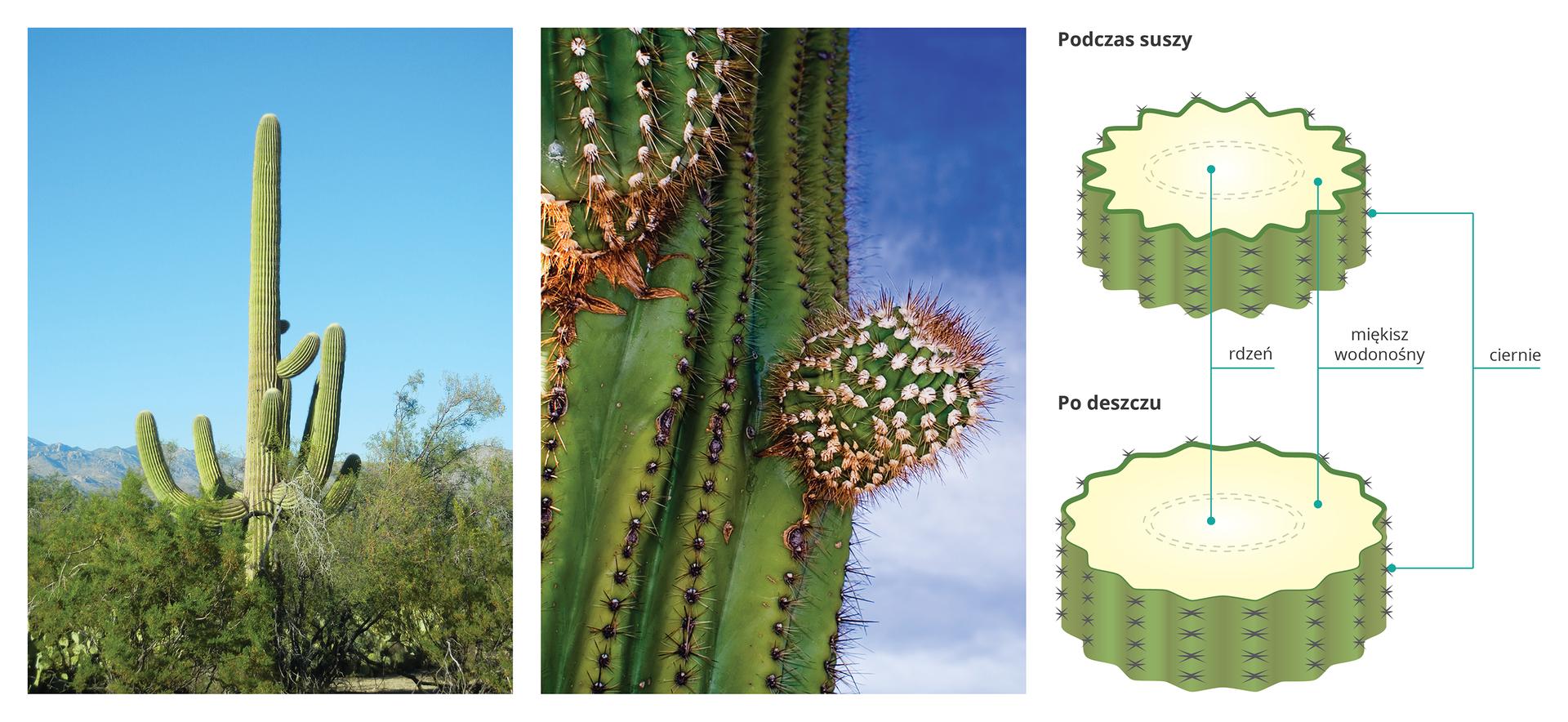 Ilustracja przedstawia dwie fotografie irysunki karnegii olbrzymiej. Fotografia zlewej przedstawia wysoki, kolumnowy kaktus, wyrastający ponad okoliczne drzewa wsuchym, górzystym krajobrazie. Fotografia wśrodku przedstawia zbliżenie pędu karnegii. Łodyga jest głęboko żebrowana, zlicznymi cierniami. Wyrastają zniej małe, kuliste odnogi. Rysunek przedstawia dwa przekroje łodygi kaktusa zmiękiszem wodonośnym wśrodku. Górny ilustruje łodygę podczas suszy: ma mniejszą średnicę igłębokie bruzdy. Niżej łodyga po deszczu jest poszerzona, bruzdy są mniejsze apierścień miękiszu wodonośnego grubszy.