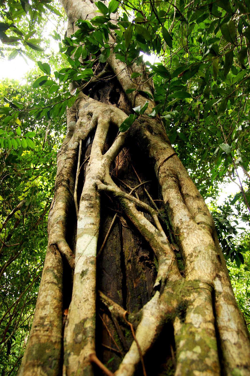 Fotografia przedstawia wzbliżeniu pień drzewa, opleciony grubymi, jasno brązowymi lianami. Wyżej znajdują się liście.
