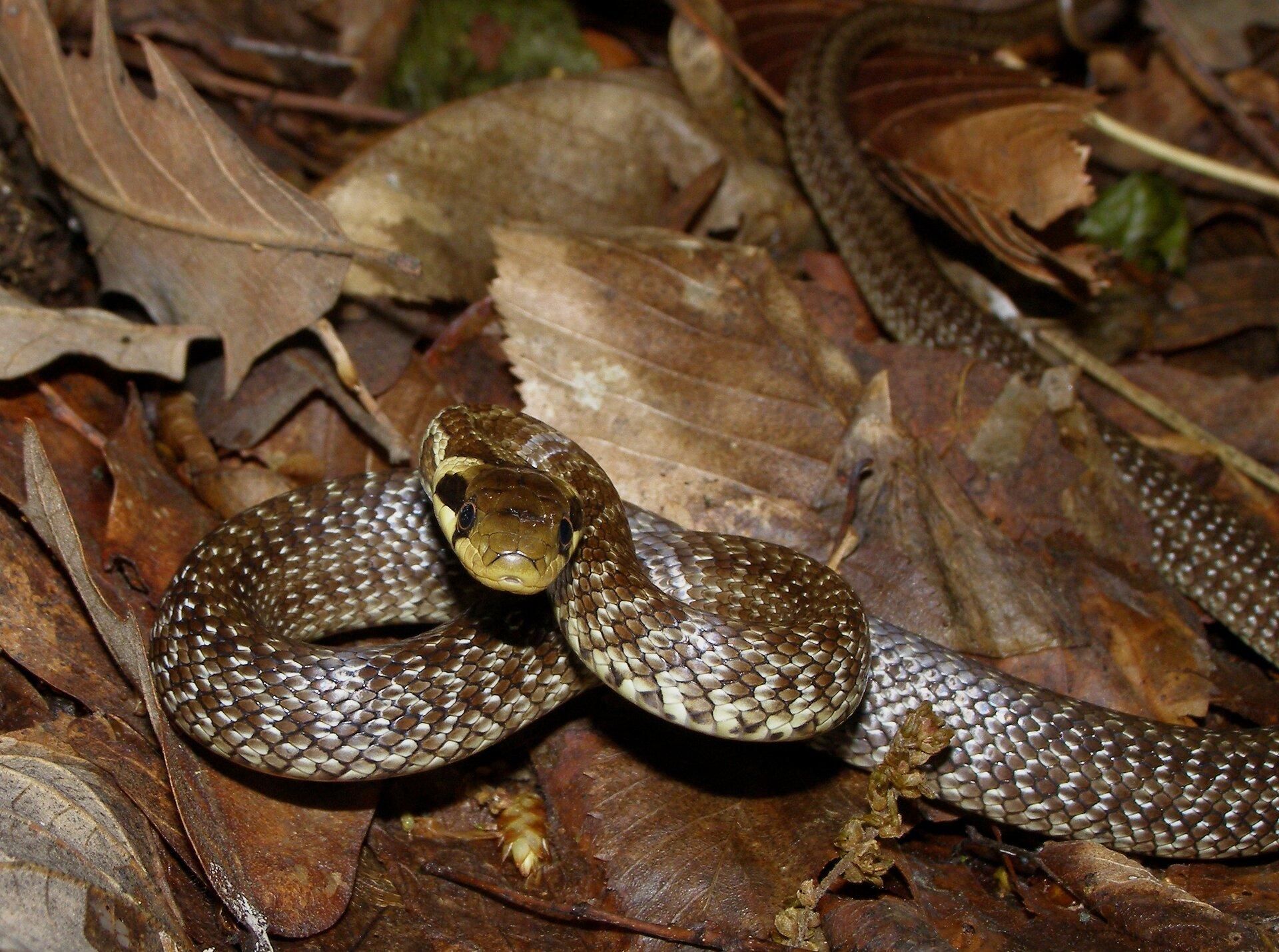 Fotografia przedstawia przednią połowę ciała węża Eskulapa, leżącego na ziemi, pokrytej suchymi liśćmi. Ma lekko uniesioną beżową głowę. Łuski na ciele gładkie, przylegające, obarwie szarej.