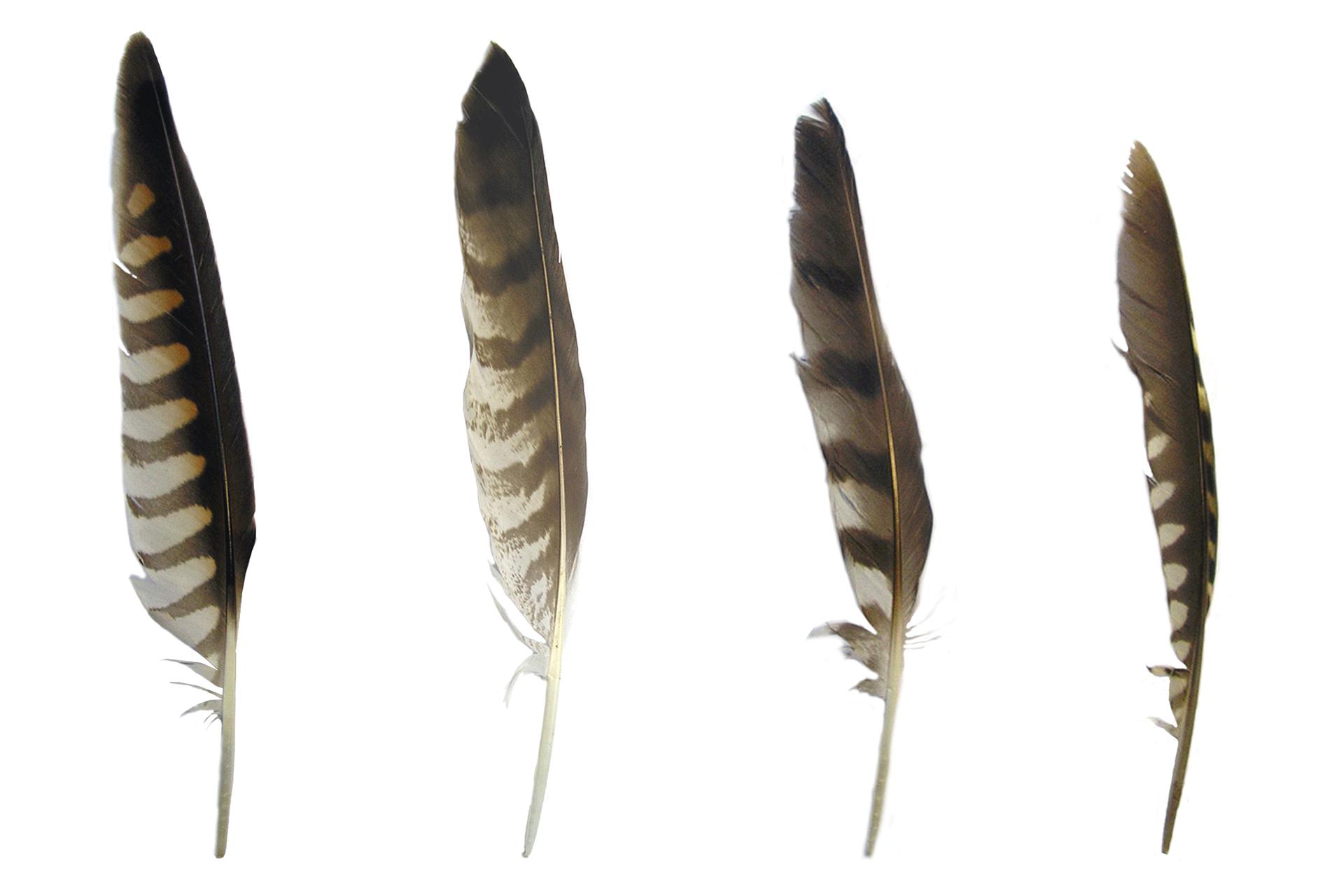 Fotografia przedstawiająca pióra lotki.