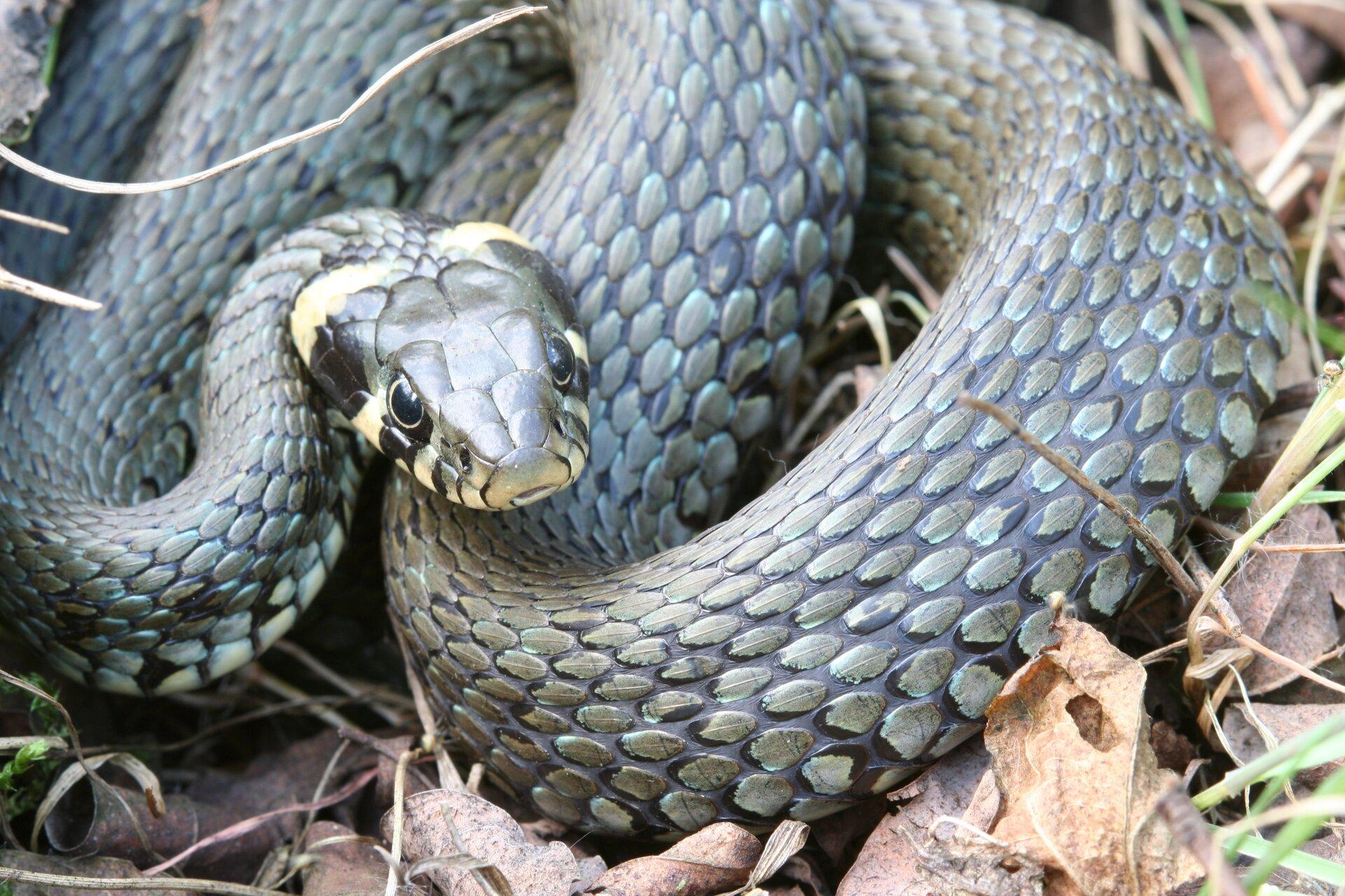 Fotografia przedstawia zwiniętego brązowego węża - zaskrońca, leżącego na ziemi. Ciało jest czarne. Ma uniesioną głowę, na spodzie jaśniejszą. Za głową dwie wyraźne jasne plamy. Łuski duże, na brzuchu większe niż na grzbiecie.