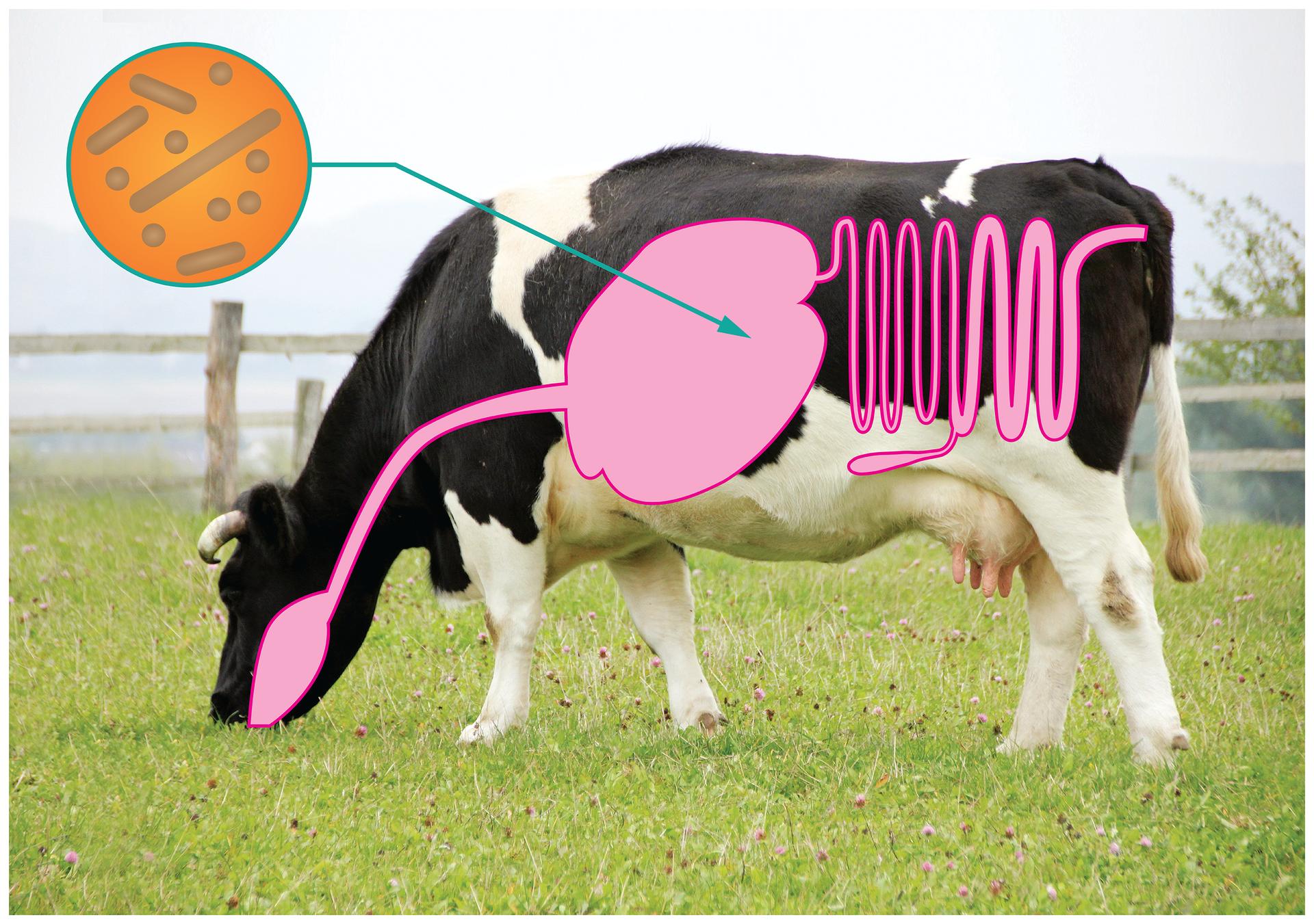 Fotografia przedstawia czarno – białą krowę na ogrodzonej łące. Na wizerunku krowy zaznaczono różowym kolorem schemat jej układu pokarmowego. Po lewej znajduje się pomarańczowe kółko zszaro brązowymi pałeczkami, czyli bakteriami. Strzałka prowadzi od niego do żołądka krowy. Oznacza to, że wżołądku krowy żyją bakterie symbiotyczne, które rozkładają celulozę.ić