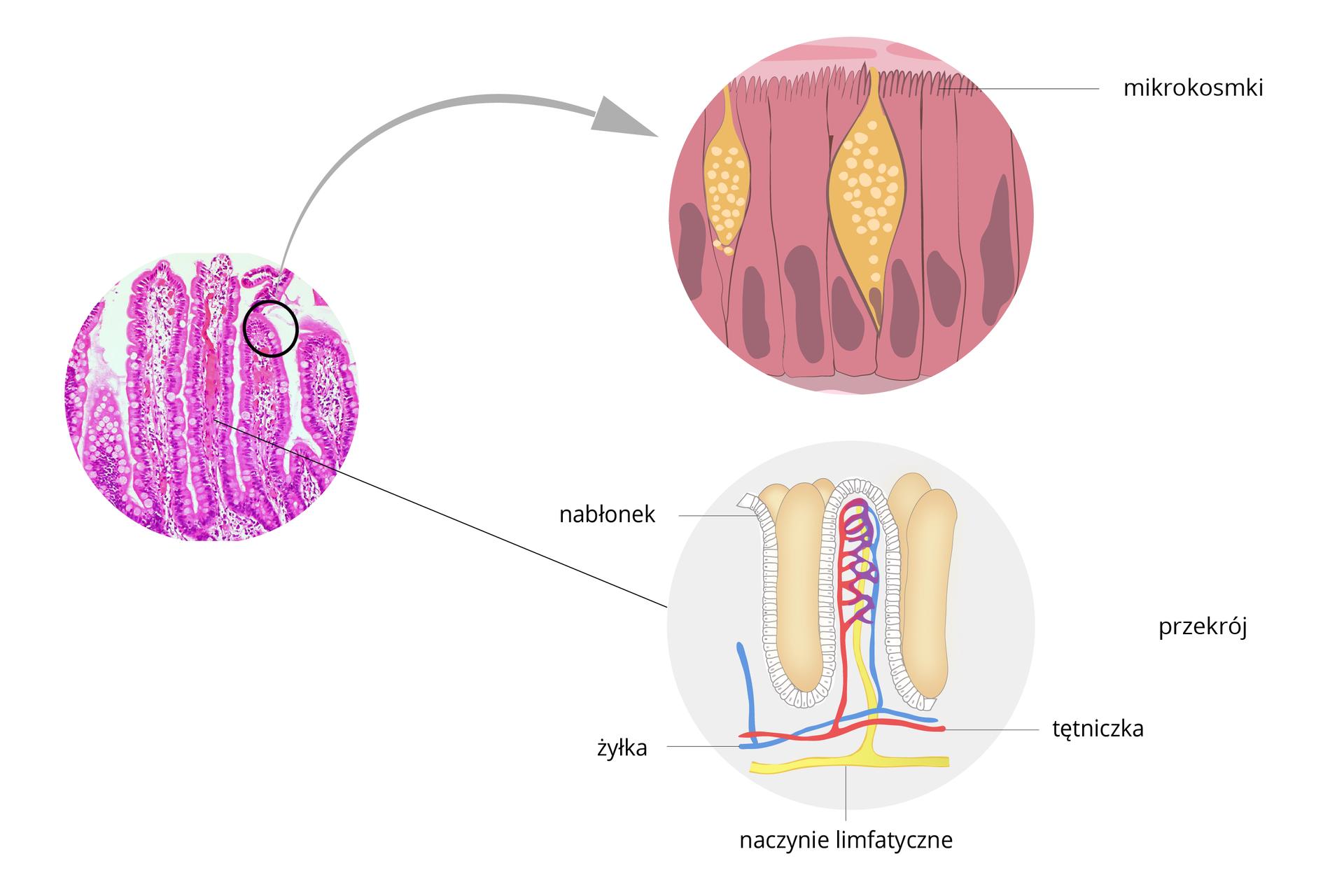 Ilustracja przedstawia obraz mikroskopowy kilku kosmków jelitowych, zabarwionych na fioletowo. Powiększenie ugóry przedstawia rysunek fioletowych komórek nabłonka jelitowego zkosmka, przedzielonych żółtymi, nakrapianymi gruczołami. Komórki mają ugóry wypustki – mikrokosmki. Rysunek poniżej przedstawia przekrój przez jeden kosmek jelitowy. Wskazano nabłonek, niebieską żyłkę iczerwoną tętniczkę. Pod nimi żółte naczynie limfatyczne.