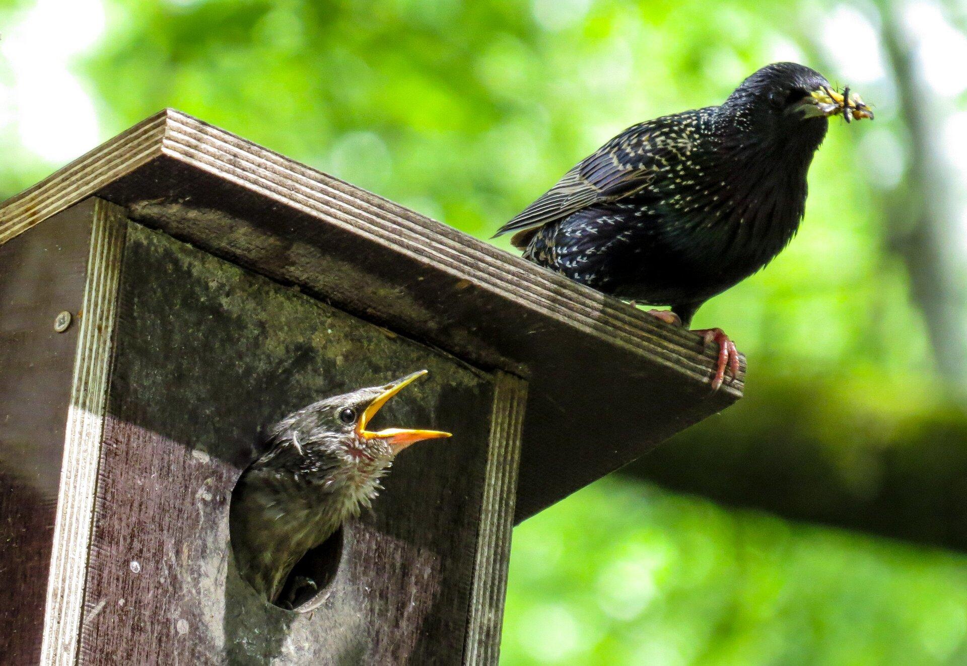 Fotografia przedstawia dorosłego szpaka karmiącego młodego. Dorosły ptak siedzi na budce lęgowej. Jego pióra są czarne zzielonym połyskiem zdrobnymi białymi plamkami. Wdziobie trzyma upolowanego owada. Zotworu wbudce lęgowej wychyla się pisklę. Widać tylko głowę pisklęcia. Pisklę ma piora szare, dziób iskóra wpobliżu nasady dzioba są żółte.