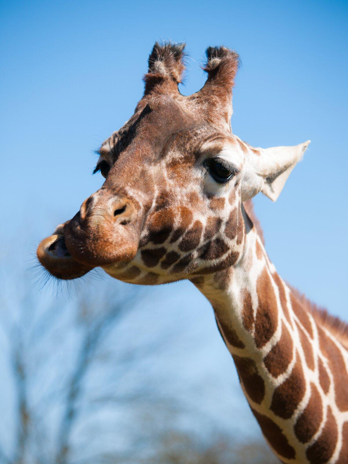 Fotografia przedstawia zbliżenie głowy żyrafy. Jest łaciata, brązowo – biała. Do góry sterczą okryte sierścią rożki. Dolna szczęka żyrafy jest mocno przesunięta względem górnej. Żyrafa przeżuwa zjedzony pokarm roślinny tak jak krowa.
