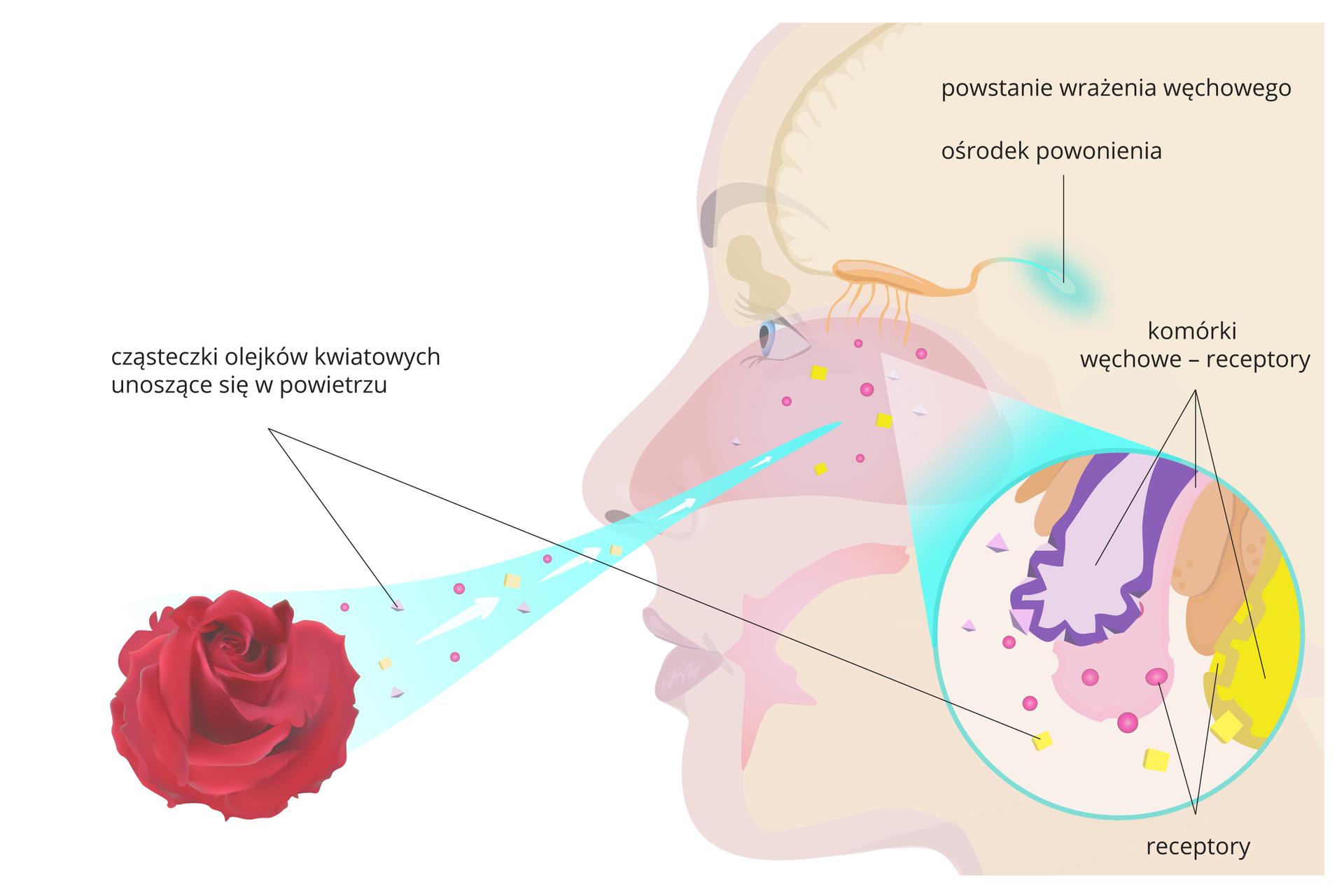 Ilustracja przedstawia zlewej czerwona różę, zktórej wbłękitnej smudze powietrza unoszą się różowe iżółte cząsteczki olejków eterycznych. Trafiają do jamy nosowej, wktórej na górze znajduje się beżowa opuszka węchowa. Nerw od niej prowadzi do ośrodka powonienia. Fragment powiększony przedstawia różne komórki węchowe wbłonie śluzowej jamy nosowej. Mają receptory, do których przyczepiają się cząsteczki zapachowe olejków. Powstaje wrażenie węchowe.