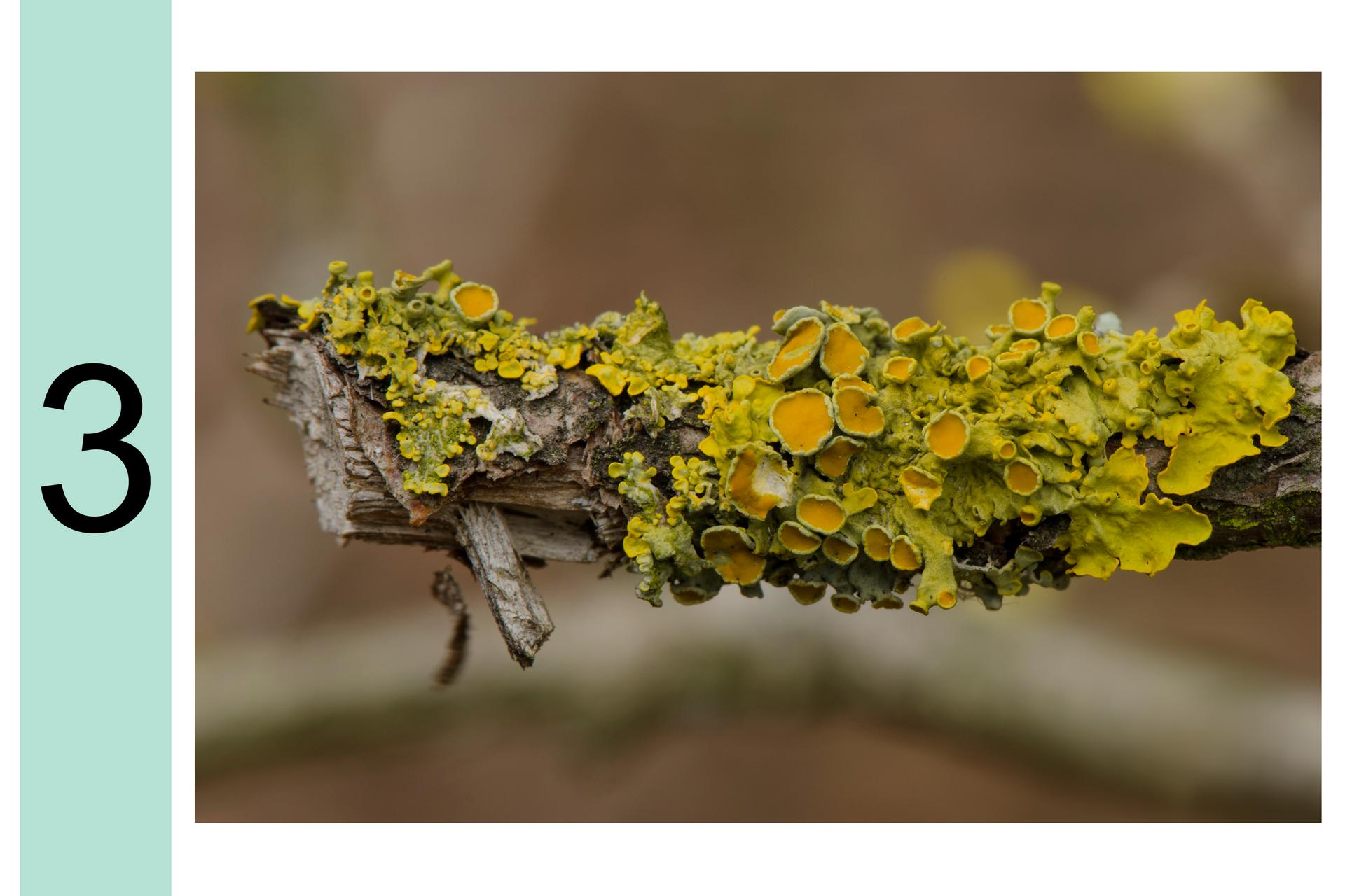 Fotografia przedstawia zbliżenie gałęzi drzewa, pokrytej żółtymi ipomarańczowymi porostami listkowatymi. Zlewej cyfra 3. Oznacza to, że jest duże zanieczyszczenie powietrza.