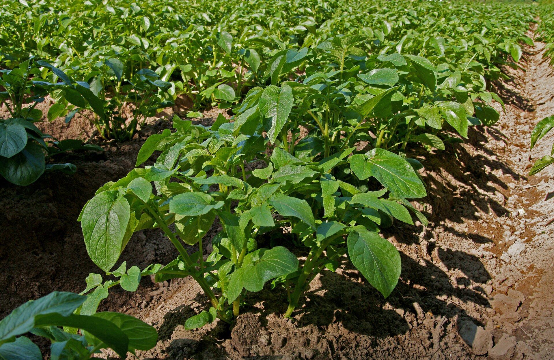 Na zdjęciu plantacja ziemniaków, równe rzędy sadzonek.