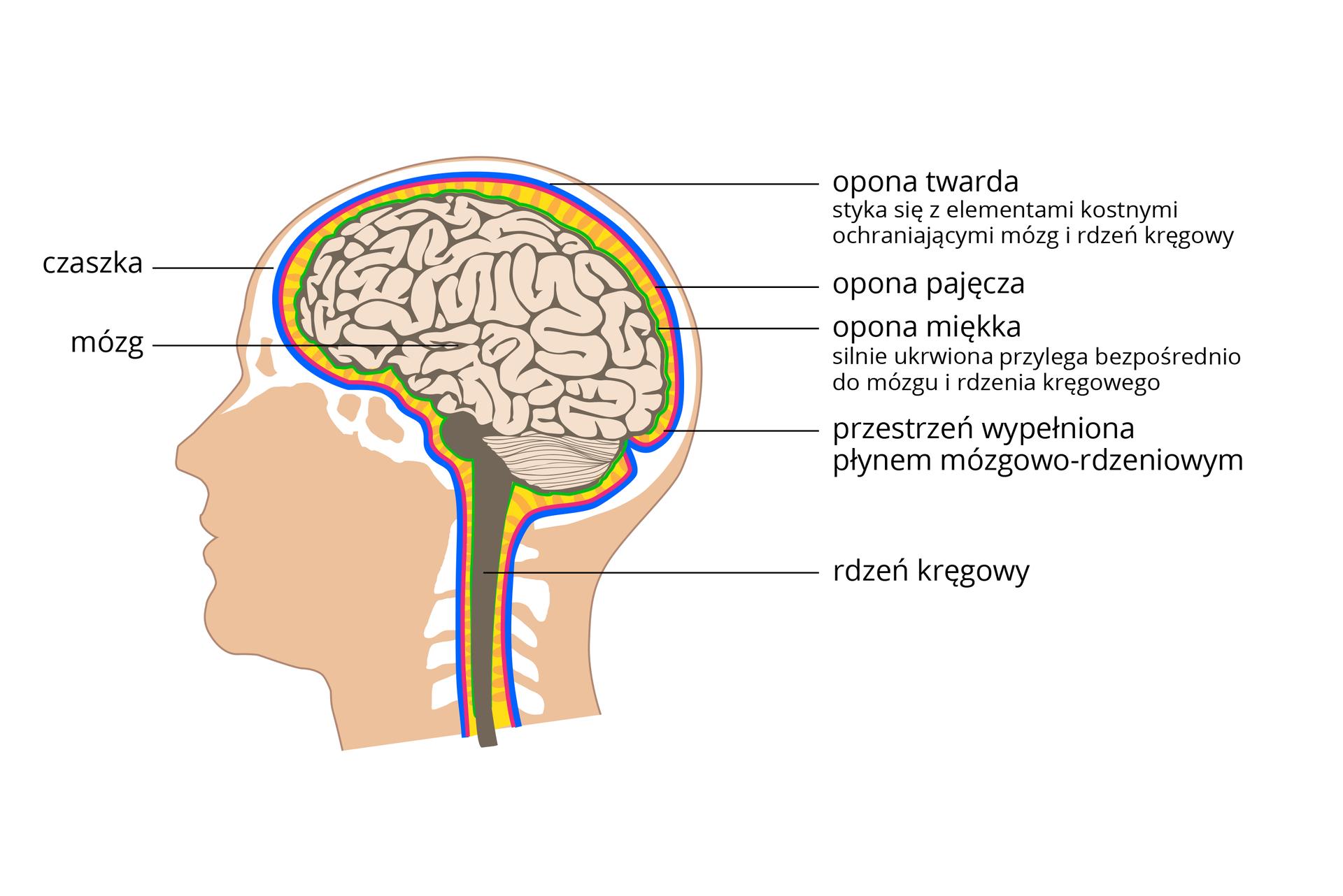 Ilustracja przedstawia wróżowej sylwetce głowy elementy ochrony ośrodkowego układu nerwowego. Na biało zaznaczono elementy kostne. Mózg ma postać szarych zwojów. Móżdżek kreskowanego półkola. Pień mózgu irdzeń kręgowy wkolorze ciemnobrązowym. Wszystkie te części są chronione wten sam sposób. Od zewnątrz: niebieska opona twarda, przylega do kości. Pod nią czerwona opona pajęcza izielona ukrwiona opona miękka. Między nimi żółty paskowany płyn mózgowo – rdzeniowy.