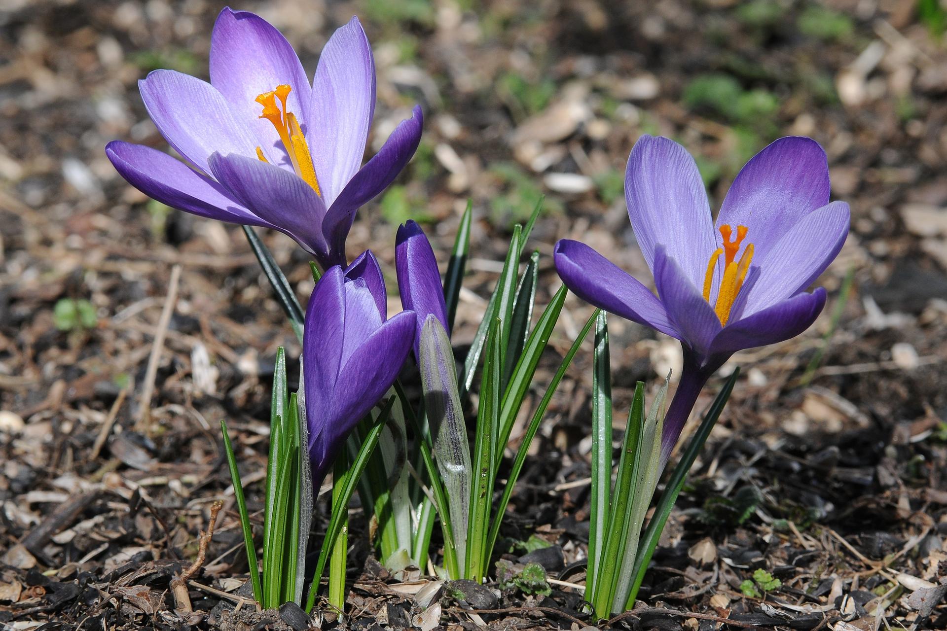 Fotografia przedstawia zbliżenie kwitnących krokusów. Wyrastają zciemnego podłoża. Mają duże, fioletowe kwiaty zpomarańczowymi pręcikami. Obok nich kilka wąskich listków, zielonych zbiałymi paskami wzdłuż. Krokus jest byliną cebulową.
