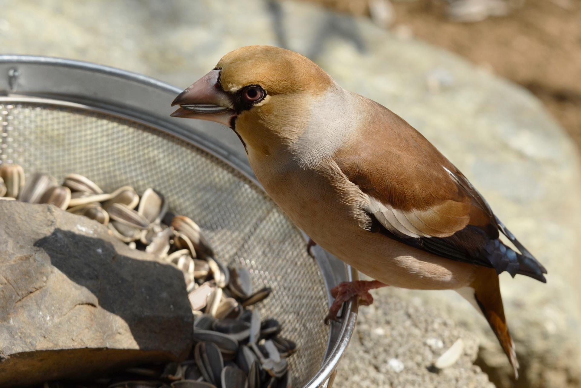 Na fotografii widać grubodzoba siedzącego po lewej stronie, na brzegu naczynia. Ptak jest rudobrązowy, nm gruby, masywny dziób.