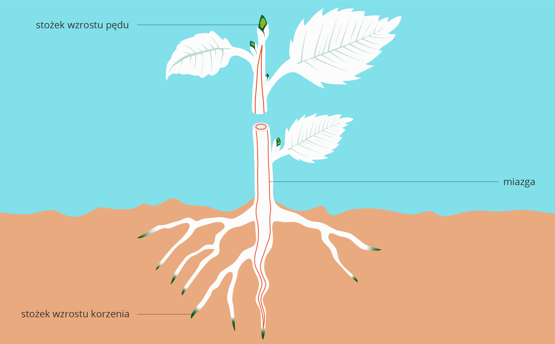 Schemat ilustrujący budowę pierwotną rośliny. Roślina umieszczona wpodłożu, na czerwono zaznaczono położenie tkanek twórczych bocznych, na zielonu stożki wzrostu.