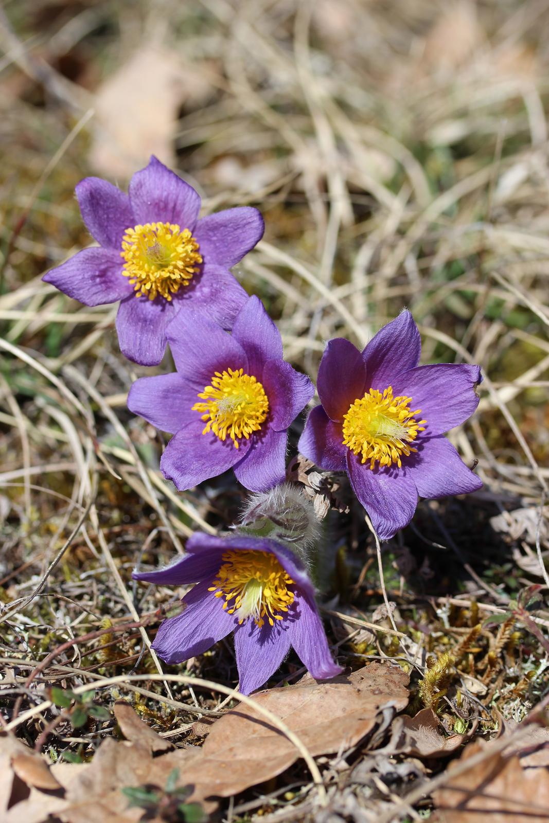 Fotografia przedstawia zbliżenie czterech kwiatów osześciu fioletowych płatkach izżółtym środkiem. To sasanka zwyczajna.