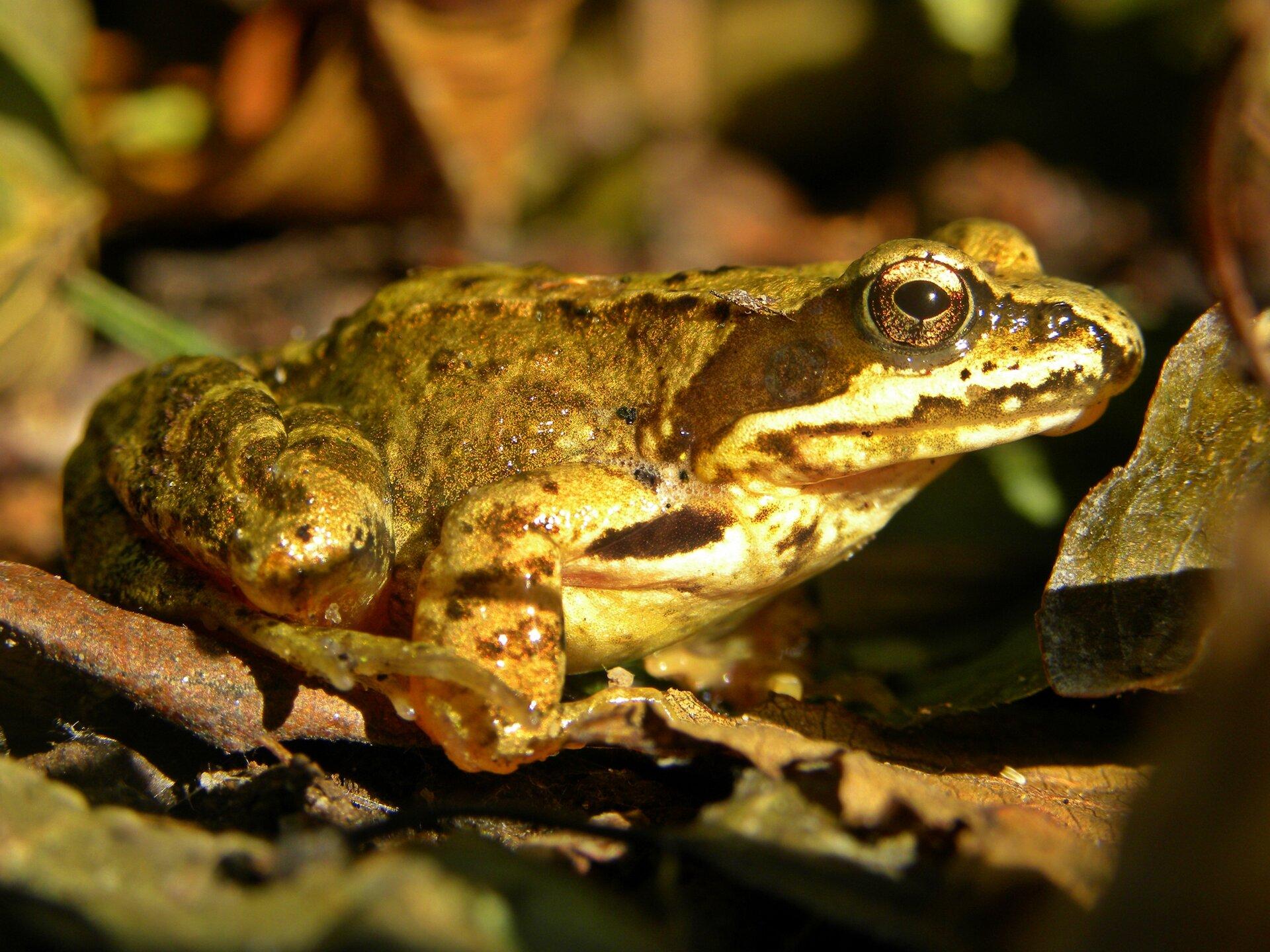 Fotografia przedstawia zbliżenie oliwkowej żaby zboku, pyskiem wprawo. Żaba trawna siedzi na podłożu zbrunatnych liści igałązek. Na głowie duże, wypukłe, okrągłe oczy ze złotawymi tęczówkami. Szpara źrenicy czarna, poziomo owalna. Przez pysk, oko aż do przednich łap brązowa plama. Ciało krępe, kończyny przyciągnięte do tułowia. Brzuch jasny. Na tylnych łapach ciemniejsze, poprzeczne pasy.