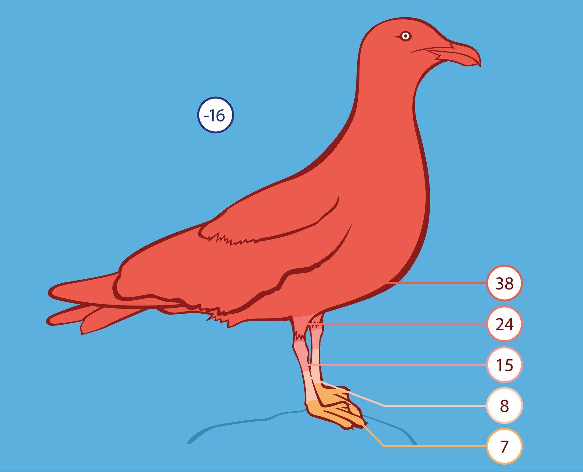 Ilustracja przedstawia czerwoną sylwetkę ptaka na niebieskim tle, głowa wprawo. Wkółeczkach wpisana temperatura wstopniach Celsjusza. Przy temperaturze minus 16 stopni tułów ptaka ma 38 stopni. Na nogach temperatura staje się od góry wdół coraz niższa: 24, 15 i8 stopni, co zaznaczono rozjaśnieniem barwy. Żółte łapy ptaka mają temperaturę 7 stopni Celsjusza.