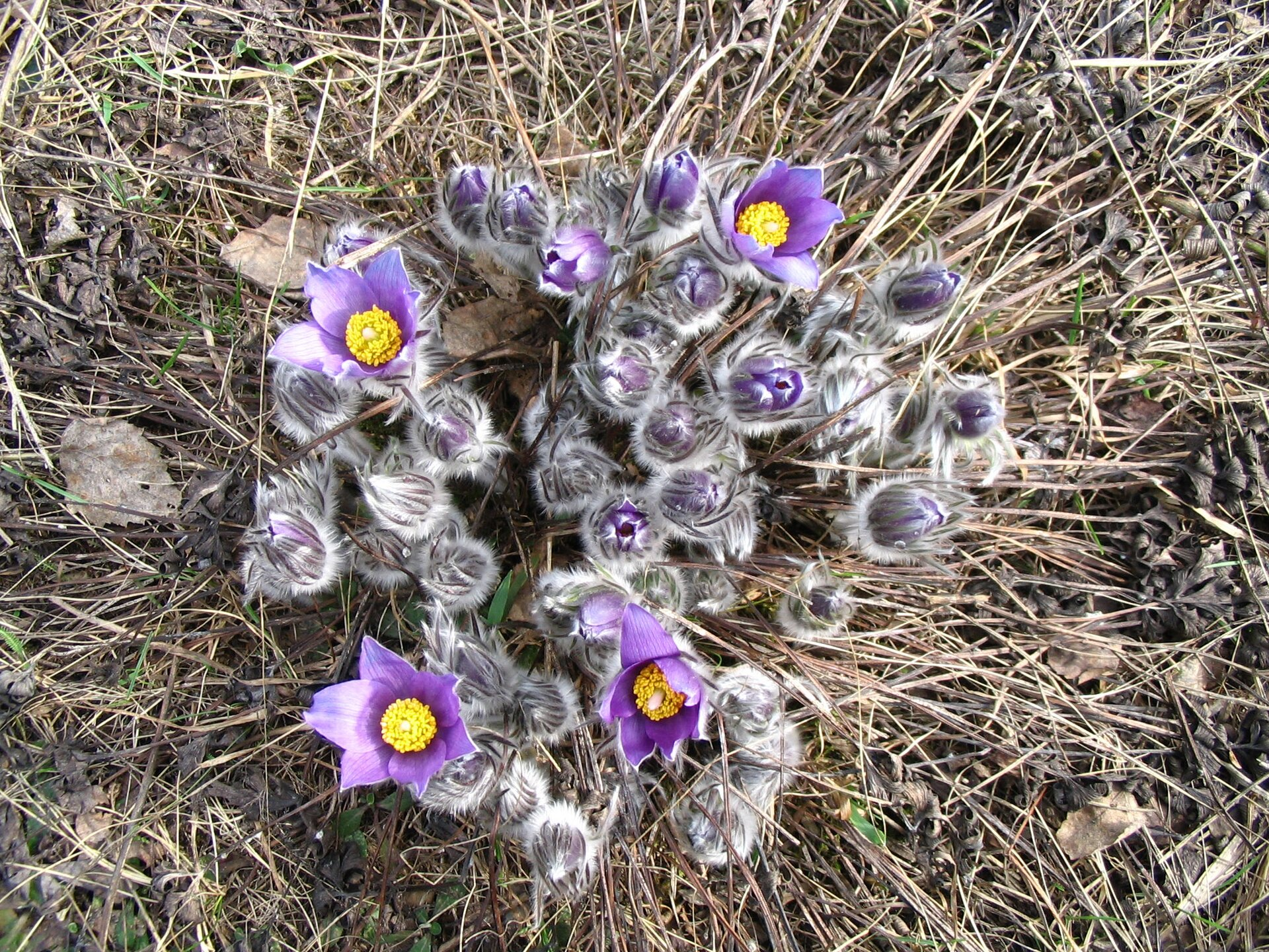 Fotografia przedstawia kępę sasanek wujęciu zgóry. Niektóre rośliny mają rozwinięte fioletowe kwiaty zżółtymi środkami. Pąki kwiatów są mocno srebrzyście owłosione.