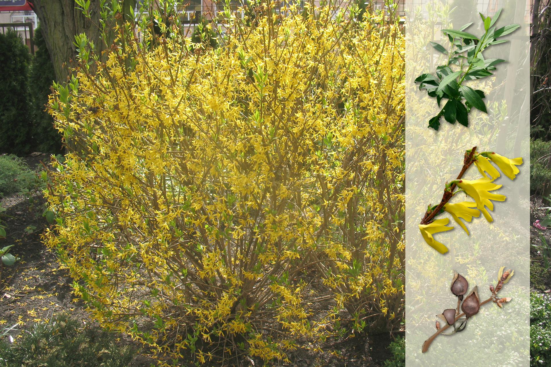 Fotografia przedstawia żółto kwitnący krzew forsycji wogrodzie. Zprawej strony nałożony jaśniejszy pasek zfotografiami. Ugóry ciemnozielone, wąskie liście. Wśrodku kilka żółtych, pojedynczych kwiatów, siedzących na bezlistnej gałązce. Udołu gałązka zkulistymi, brązowymi, wzniesionymi owocami.